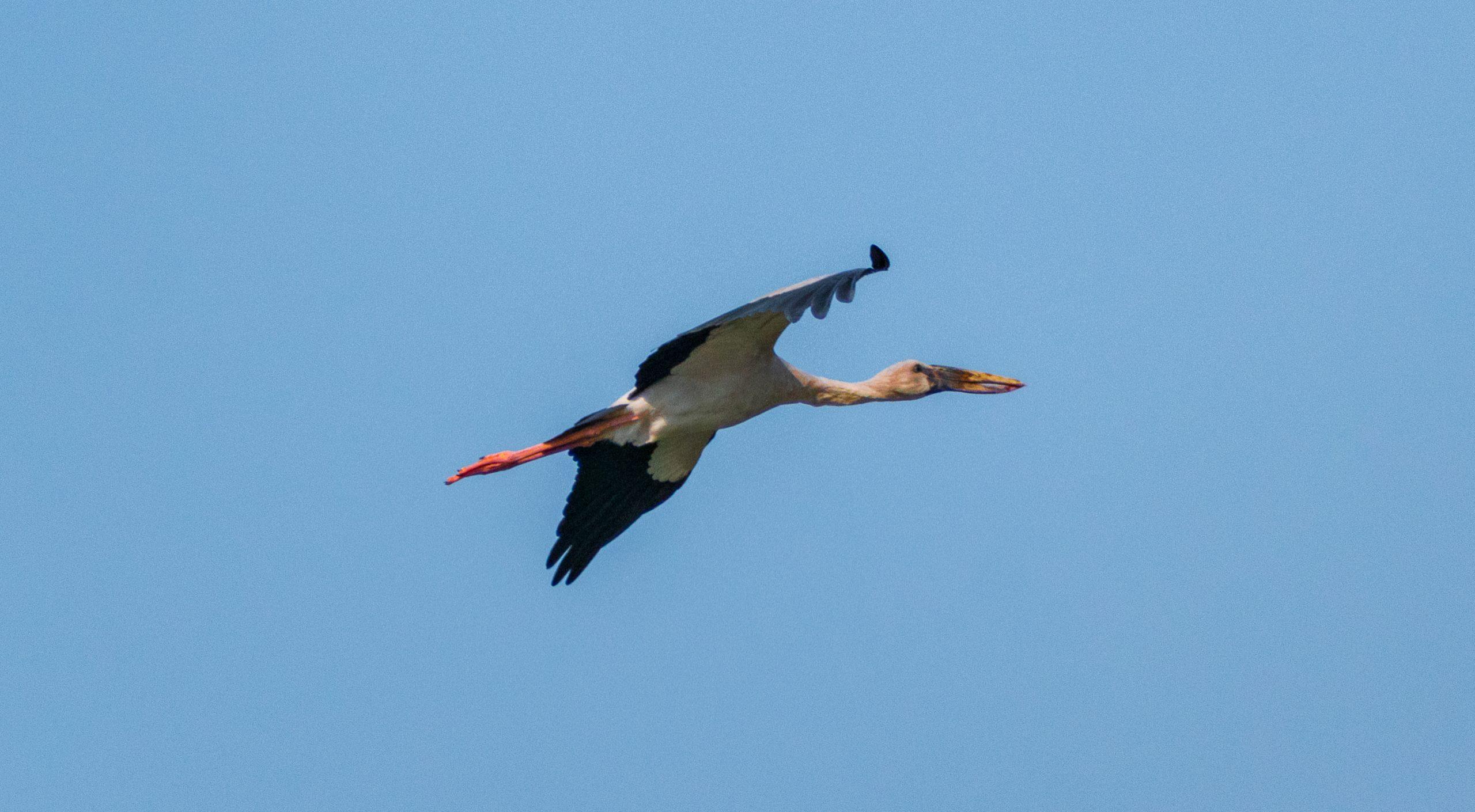 A flying Asian openbill stork