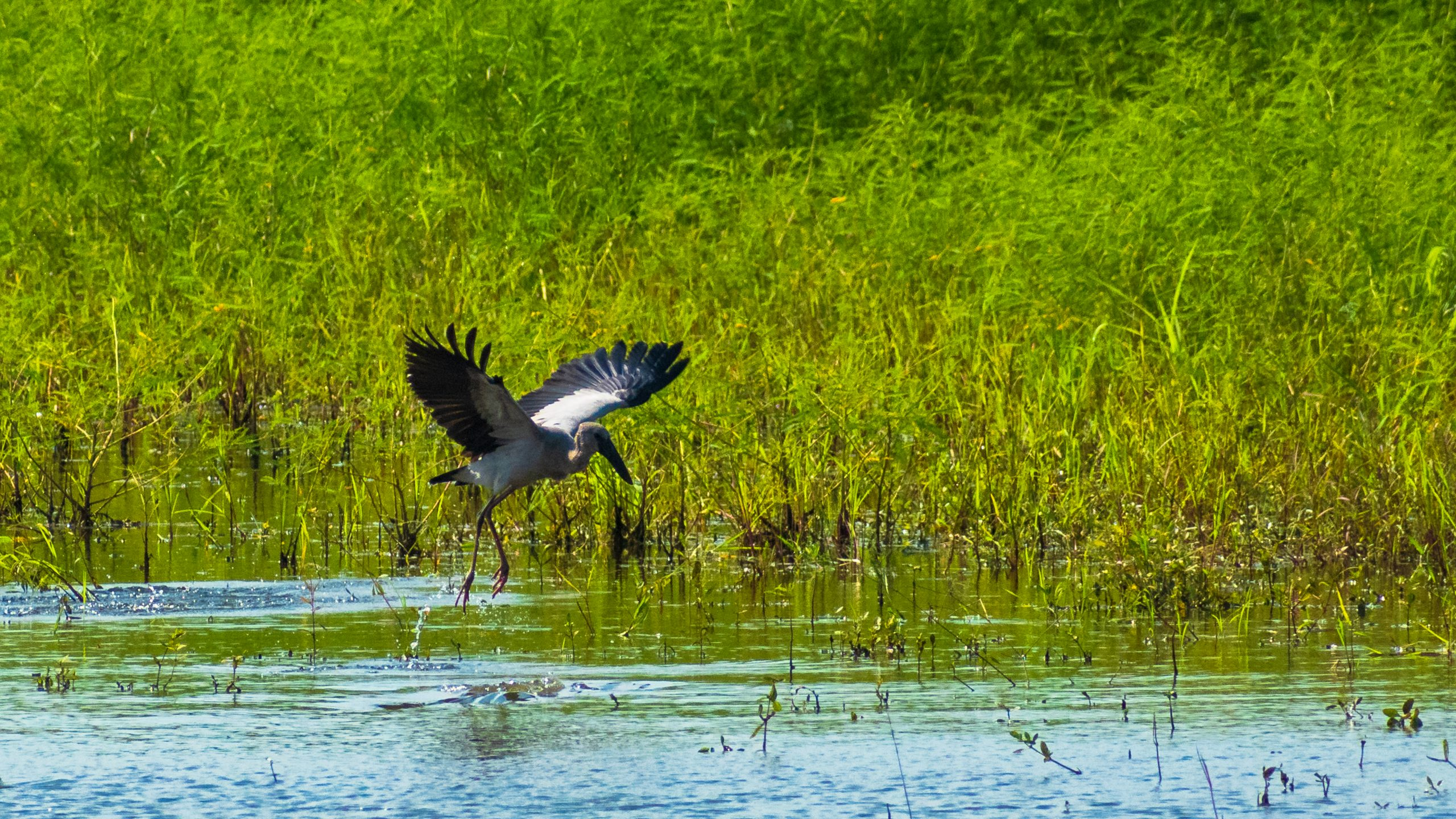 Asian Openbill Stork Hunting for Food