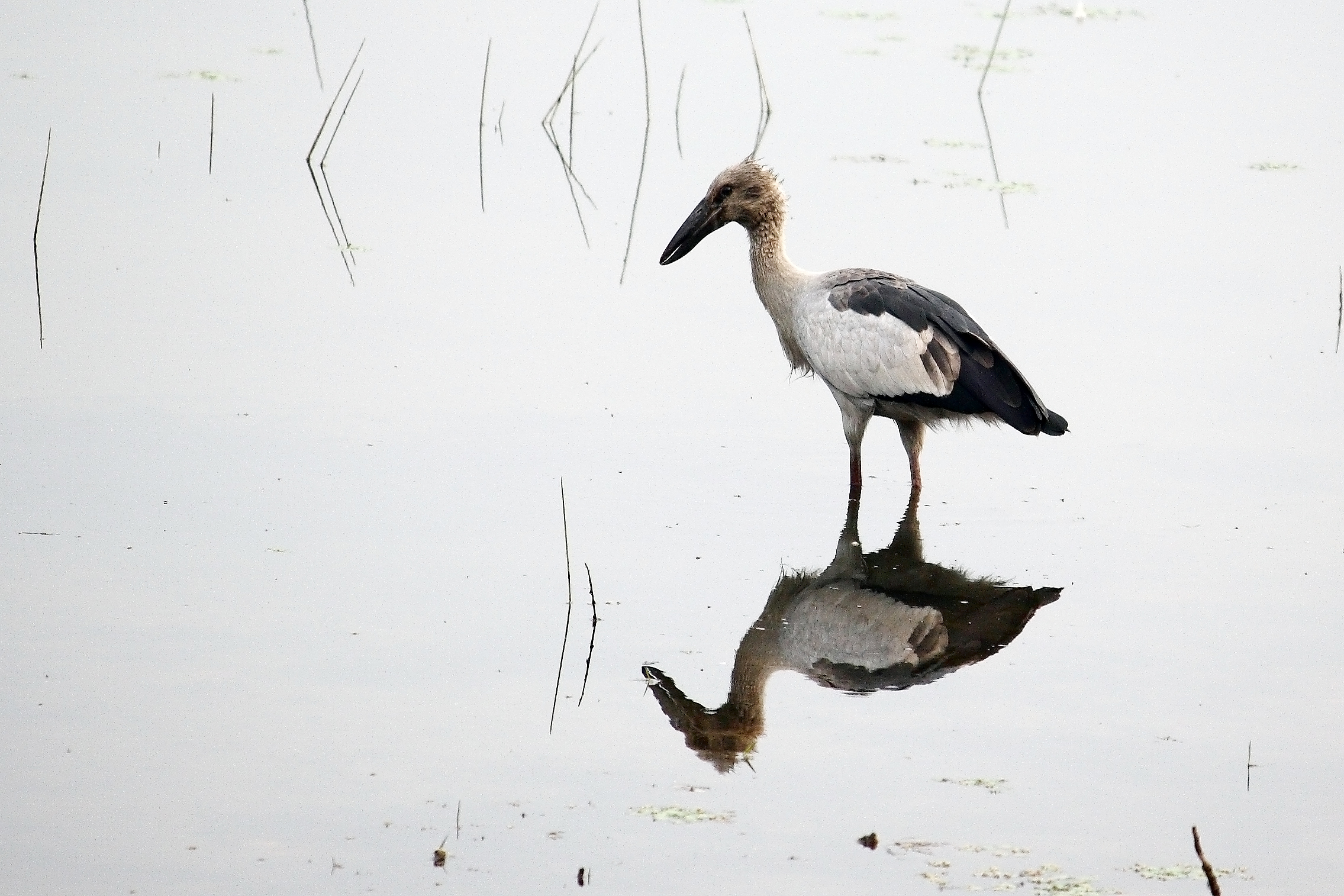 Asian open-bill stork in the Pond