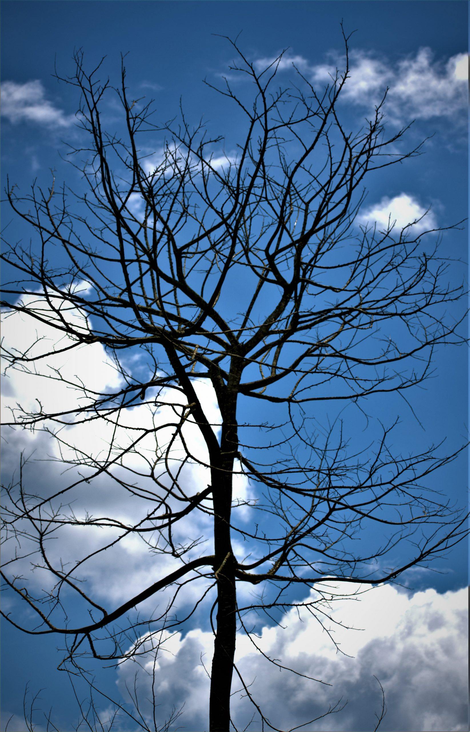 Bare tree with blu sky and white clouds background