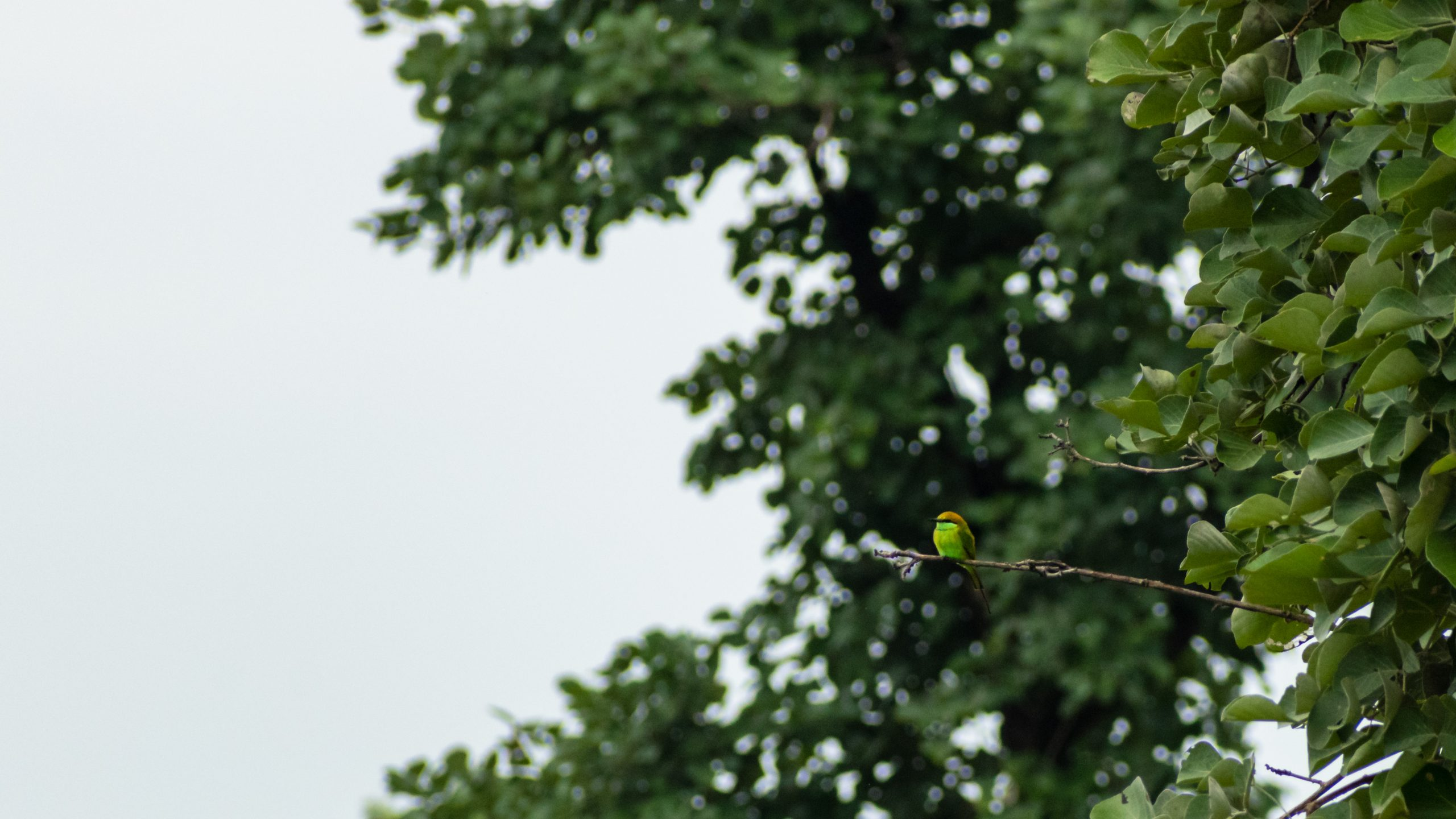 Beautiful bee-eater perched on a tree