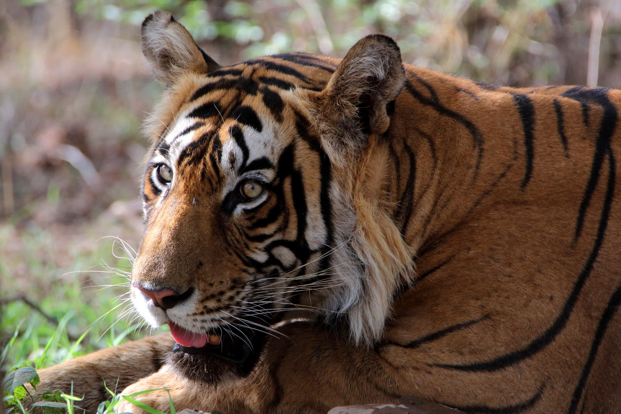 Bengal Tiger in a reserve park