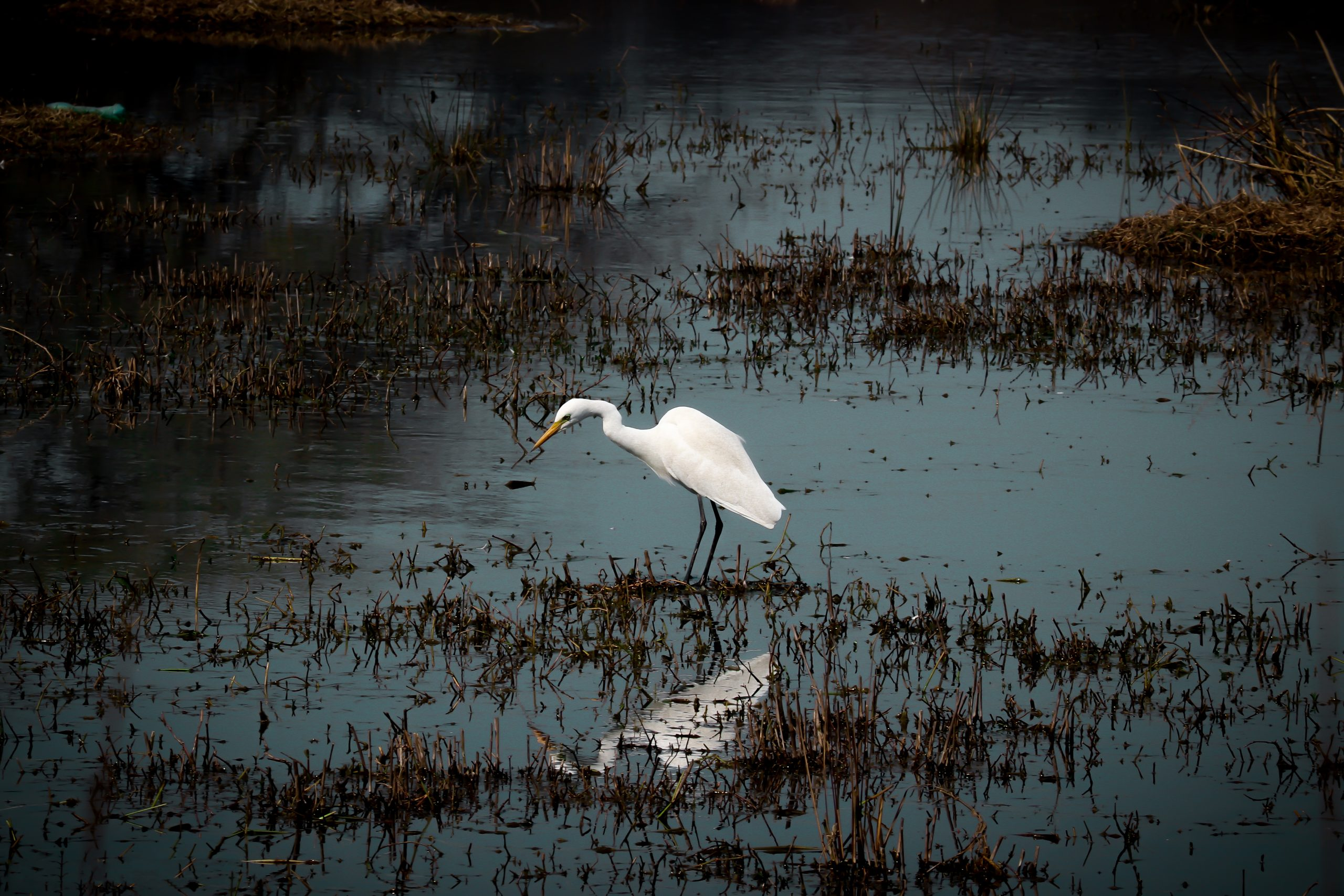 A stork in a pond