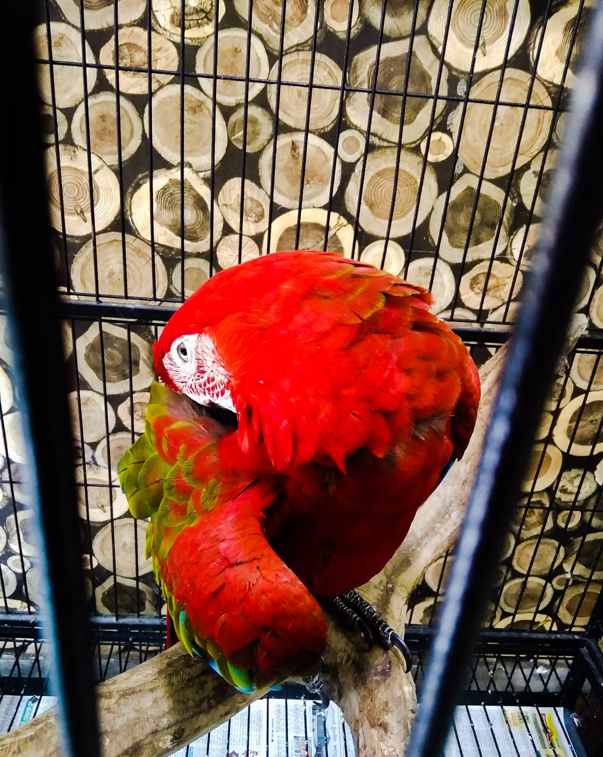 Red parrot in cage