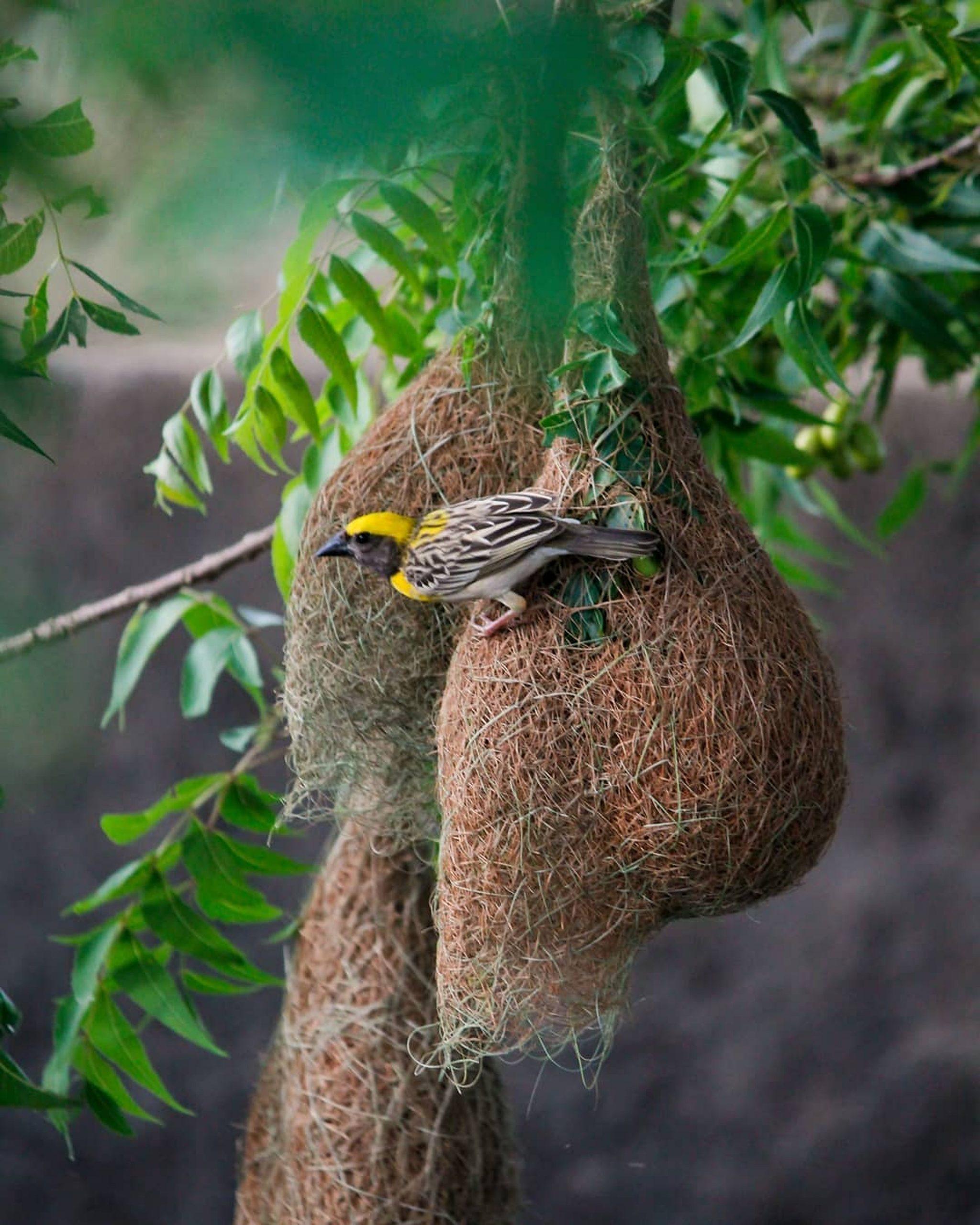 Nest of a Bird on Tree