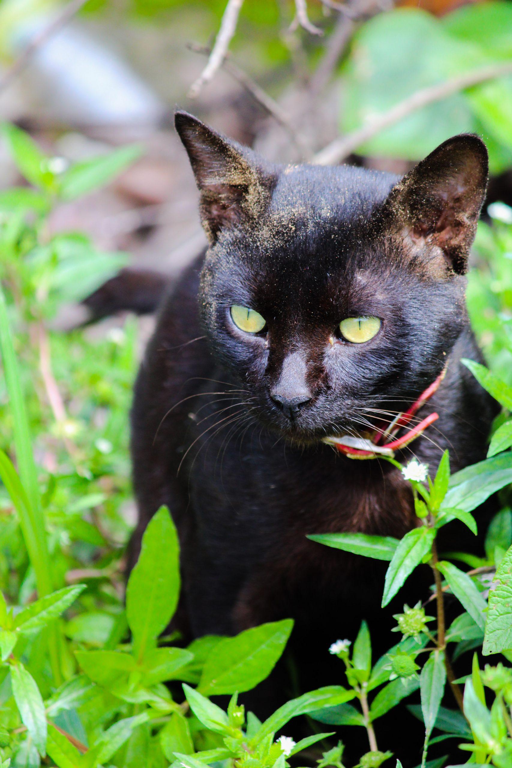 Black Cat Face on Focus