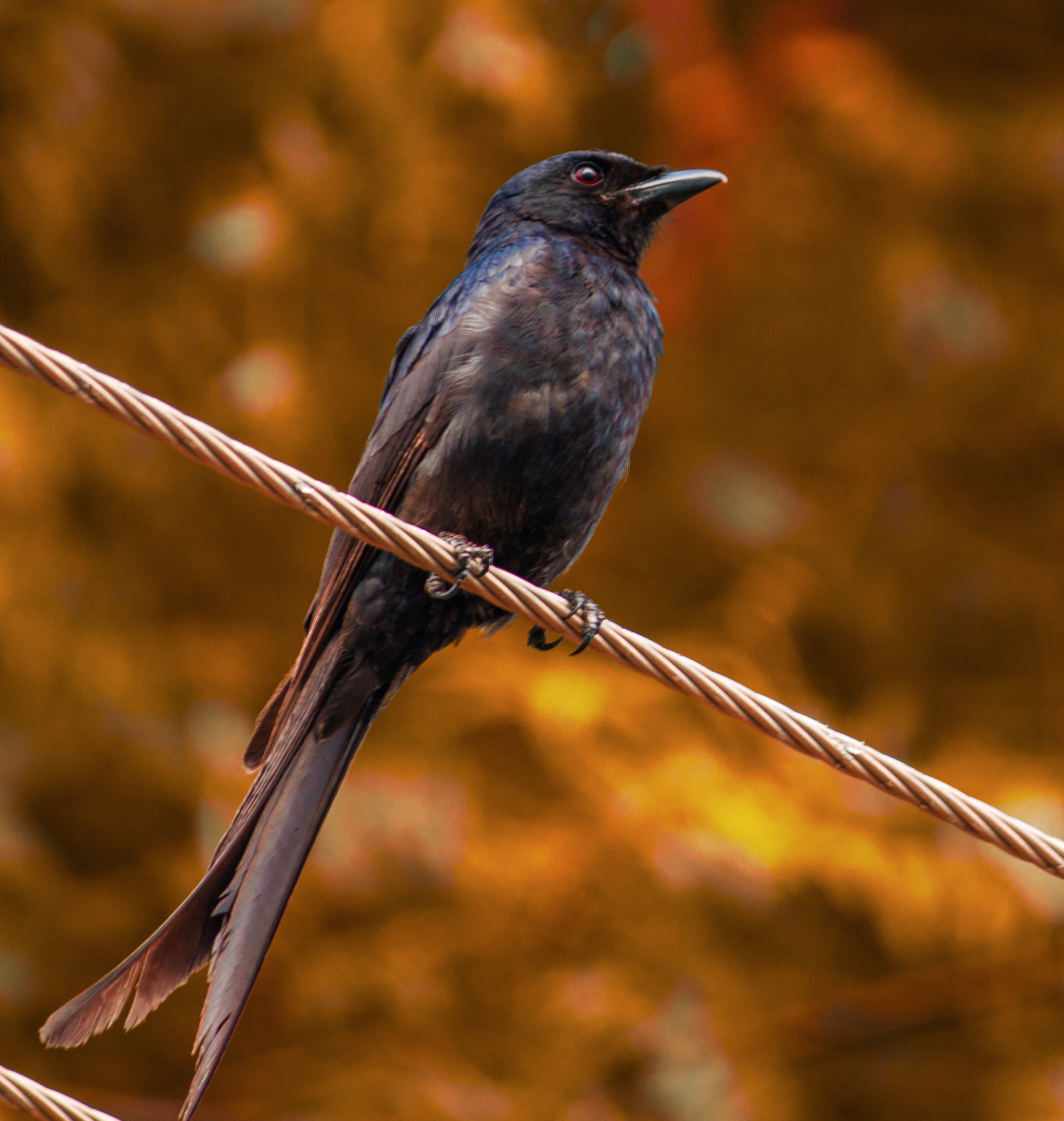 Black Drongo sitting on electrical wire