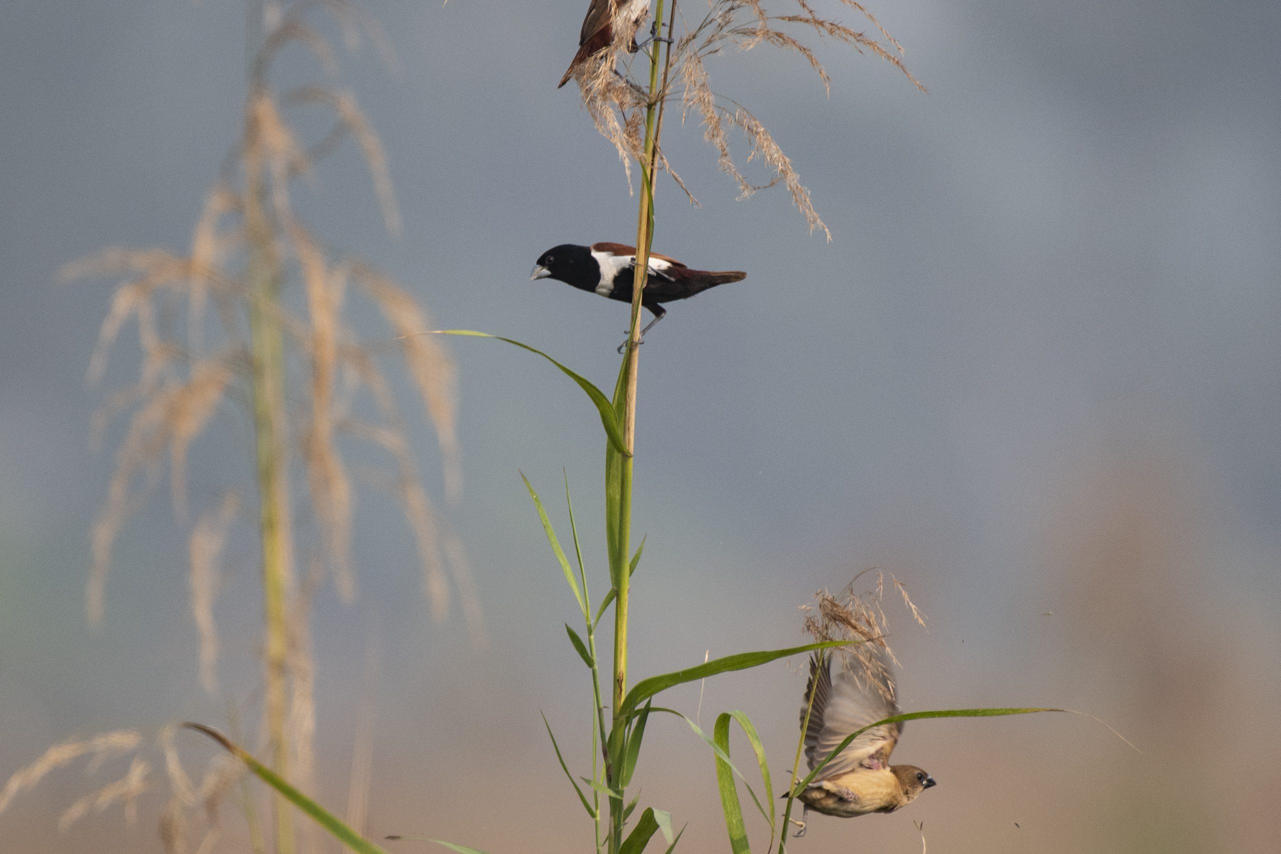 Black-headed Munia Bird in the Farm