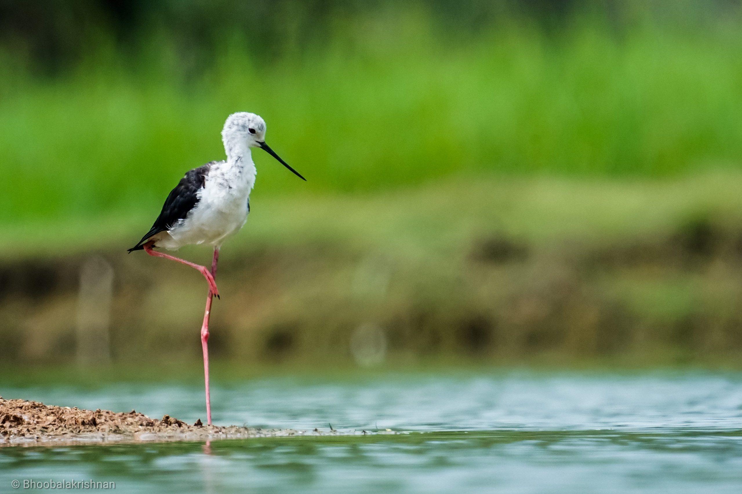 Black winged stilt in the river