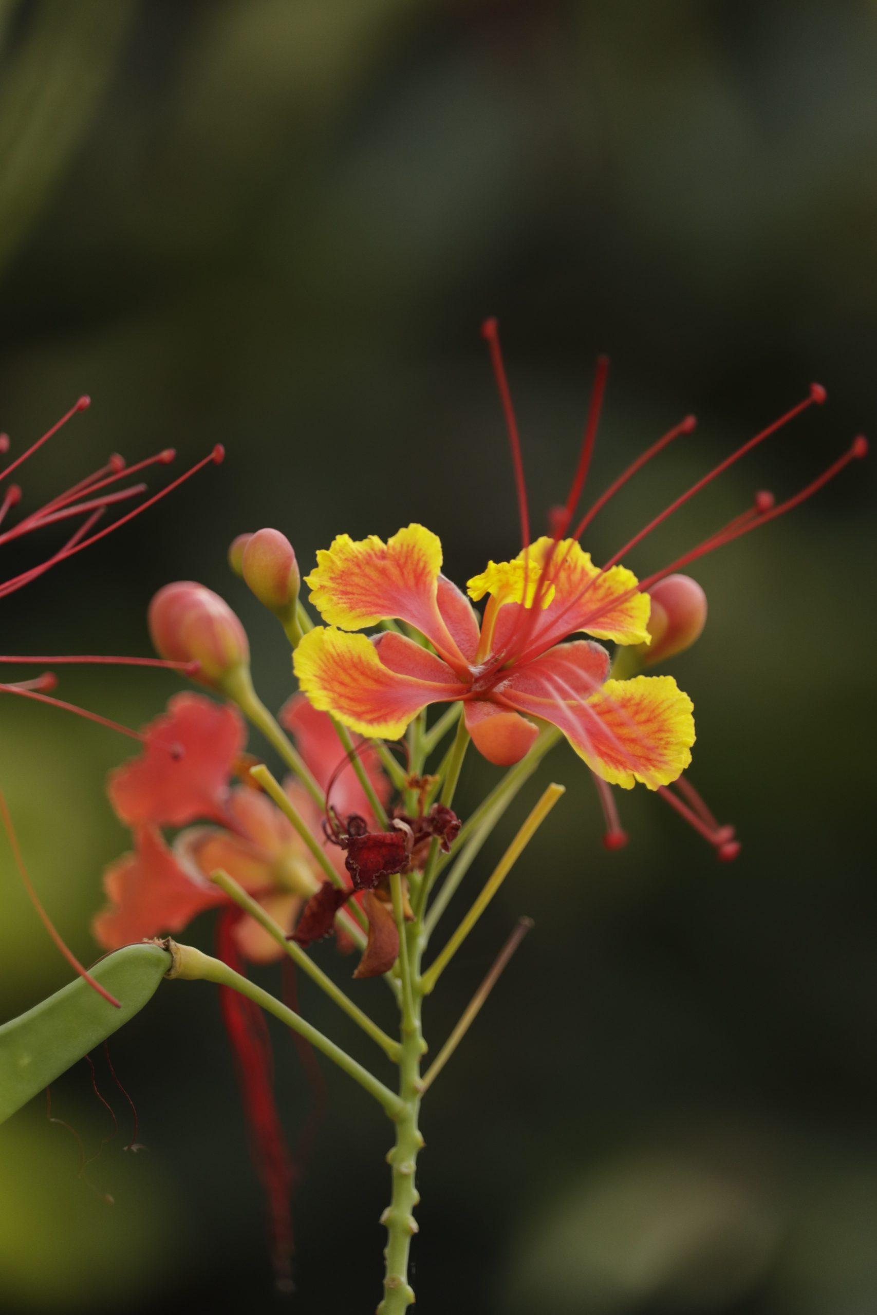 Blooming Caesalpinia flower