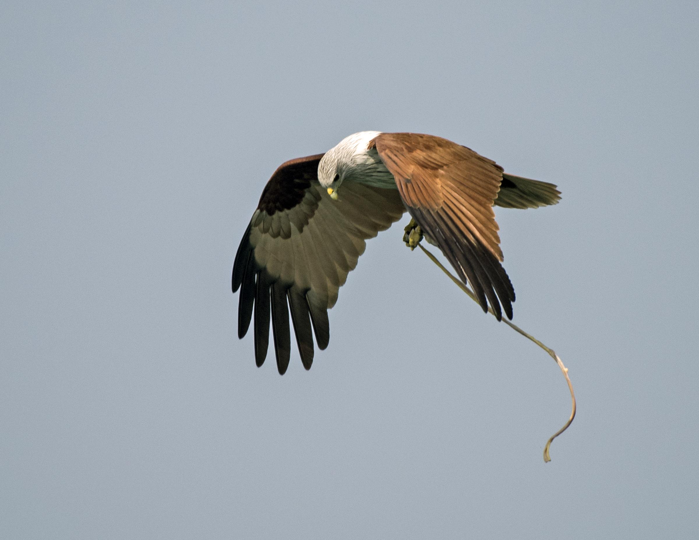 Brahminy Kite with a Catch