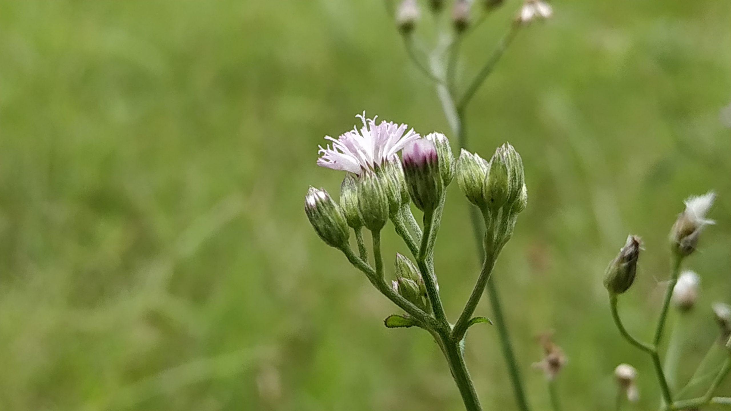 Buds of thistle flower
