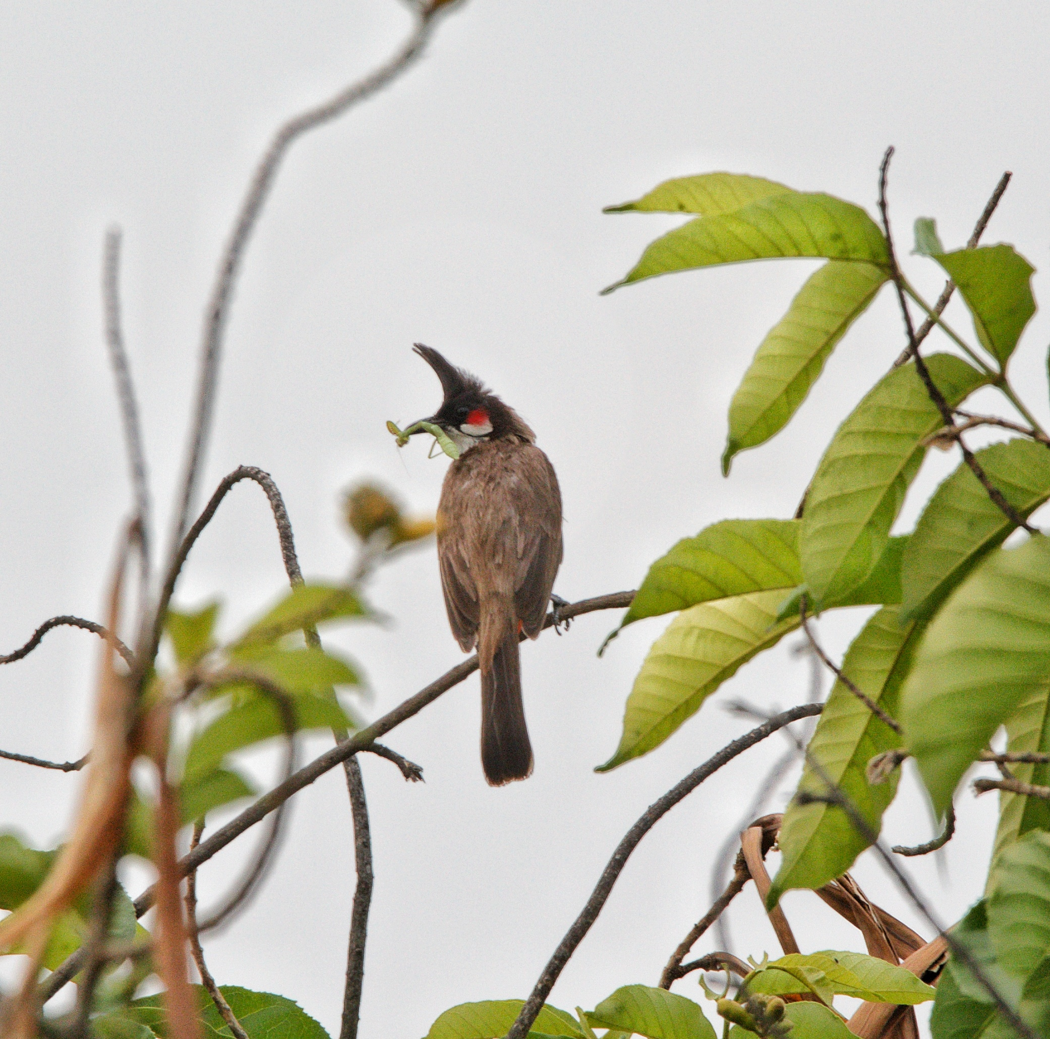 Bulbul bird on a branch