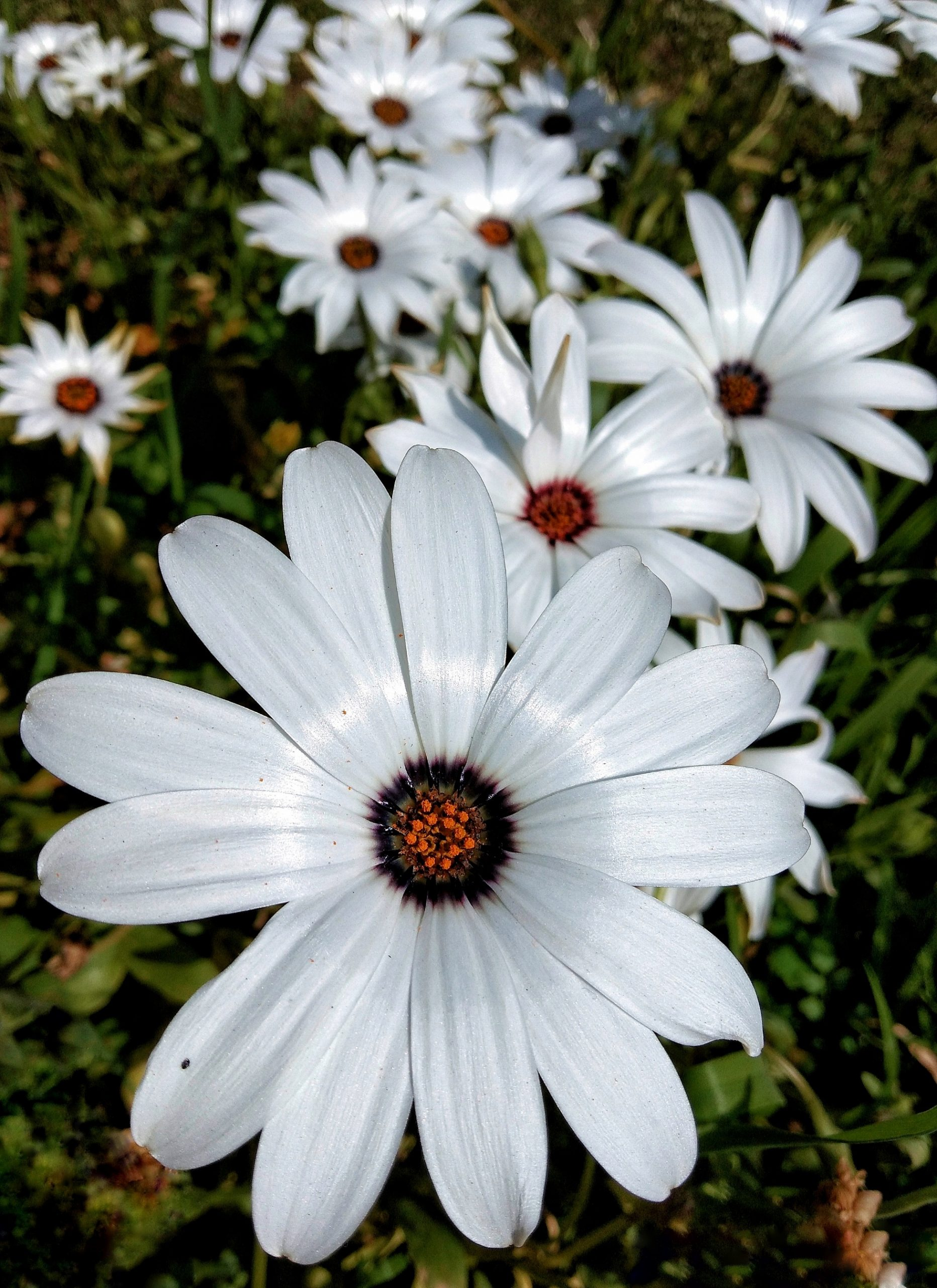 Bunch of white African Daisy flowers