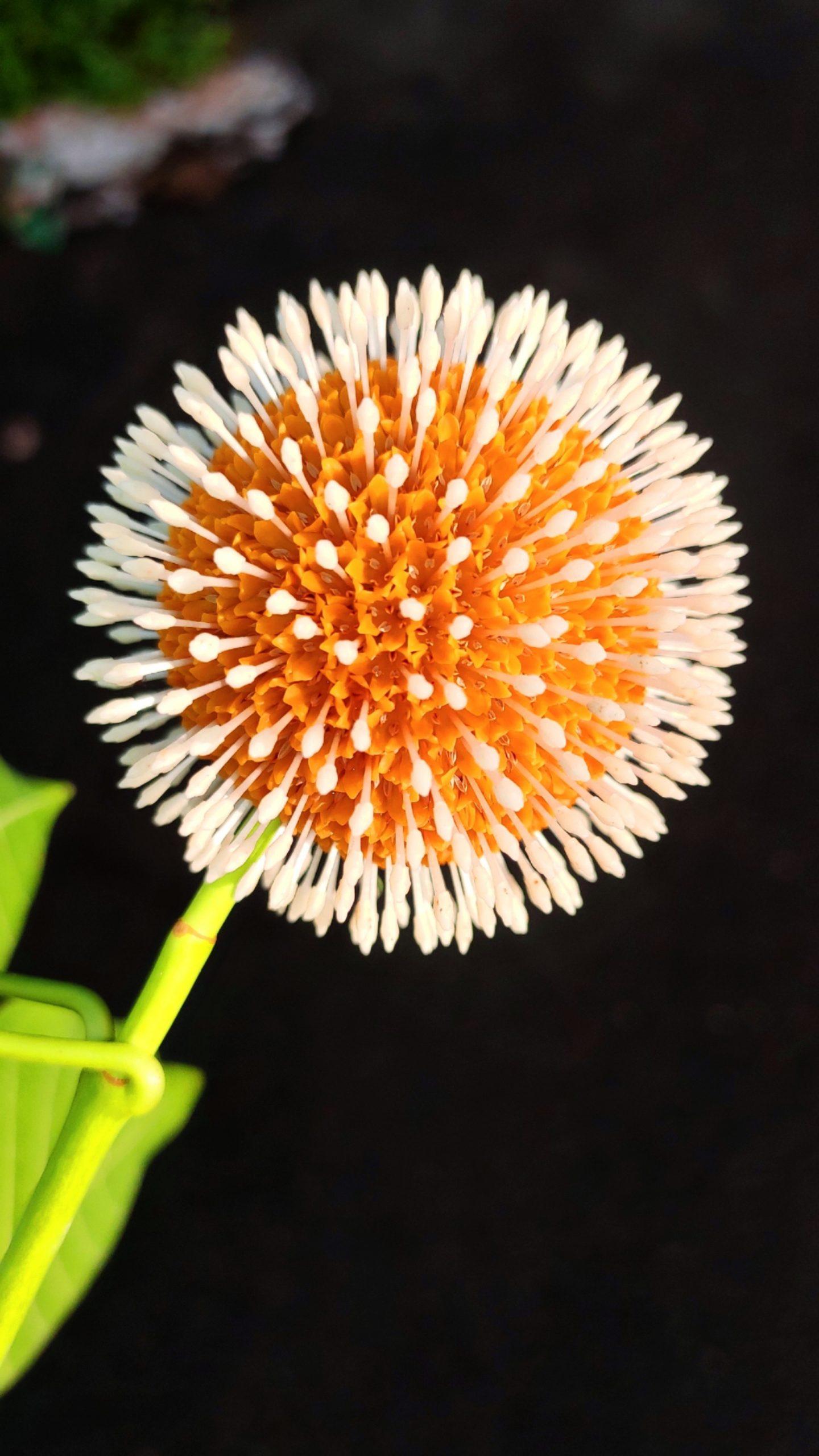 Bur flower tree