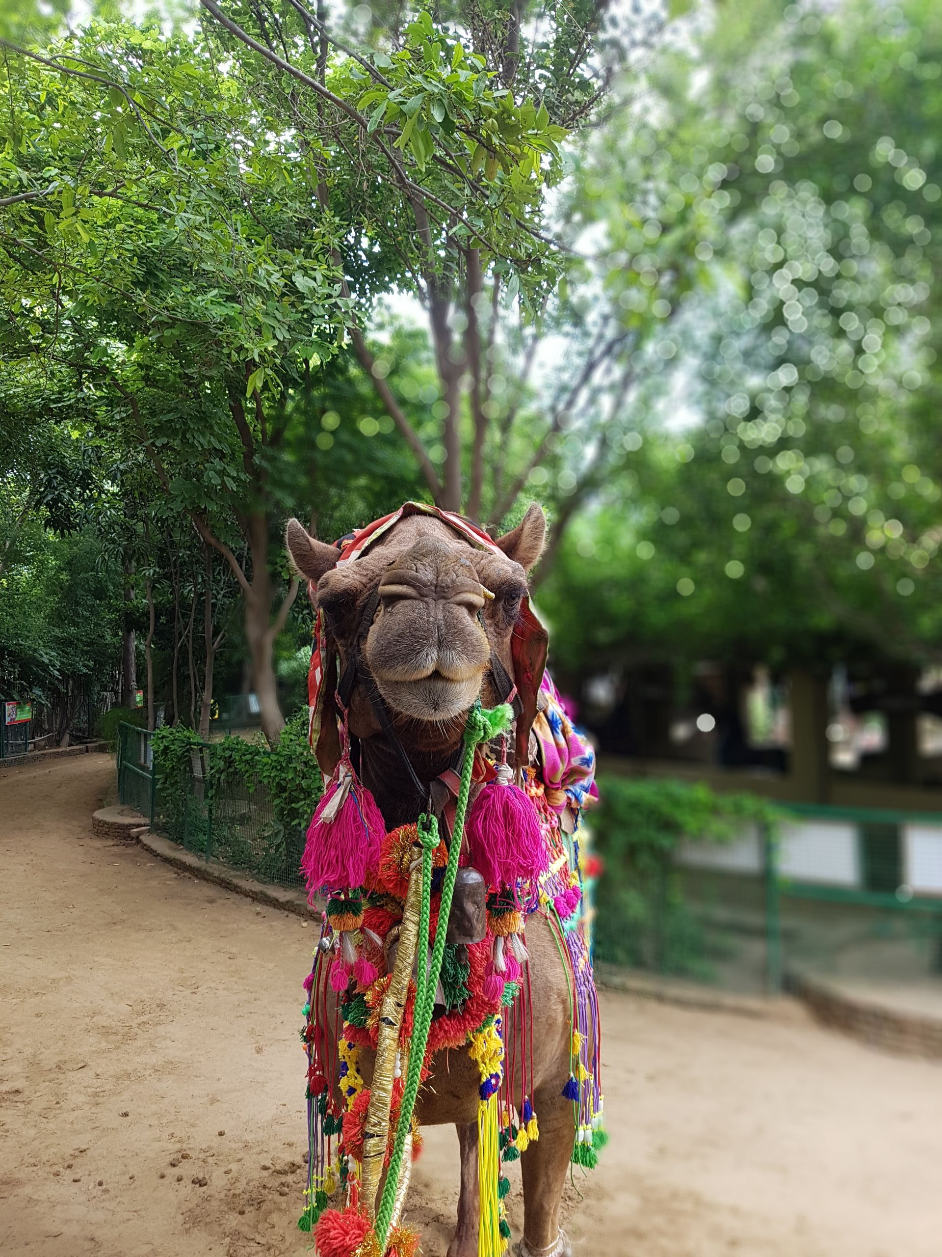 A Dromedary camel standing in a park.