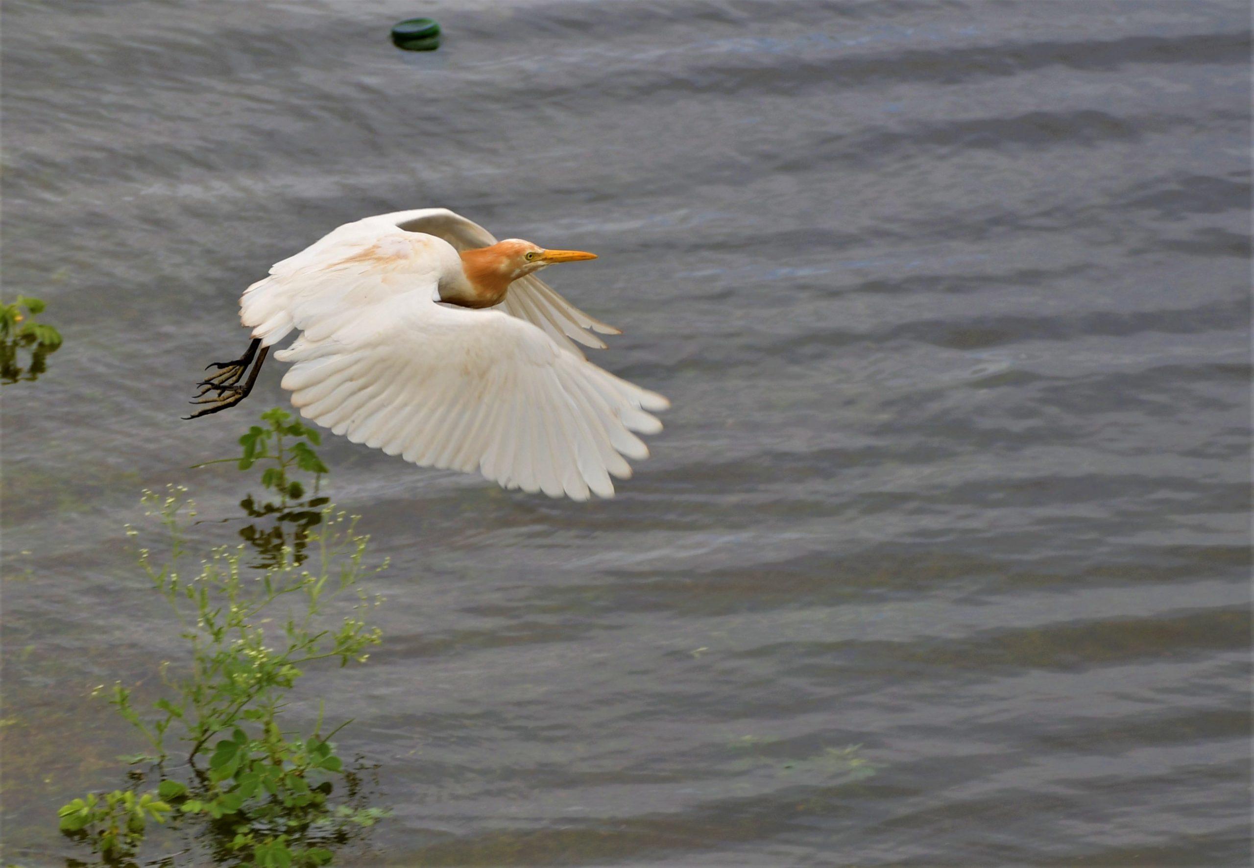 Cattle Egret bird flying over the lake
