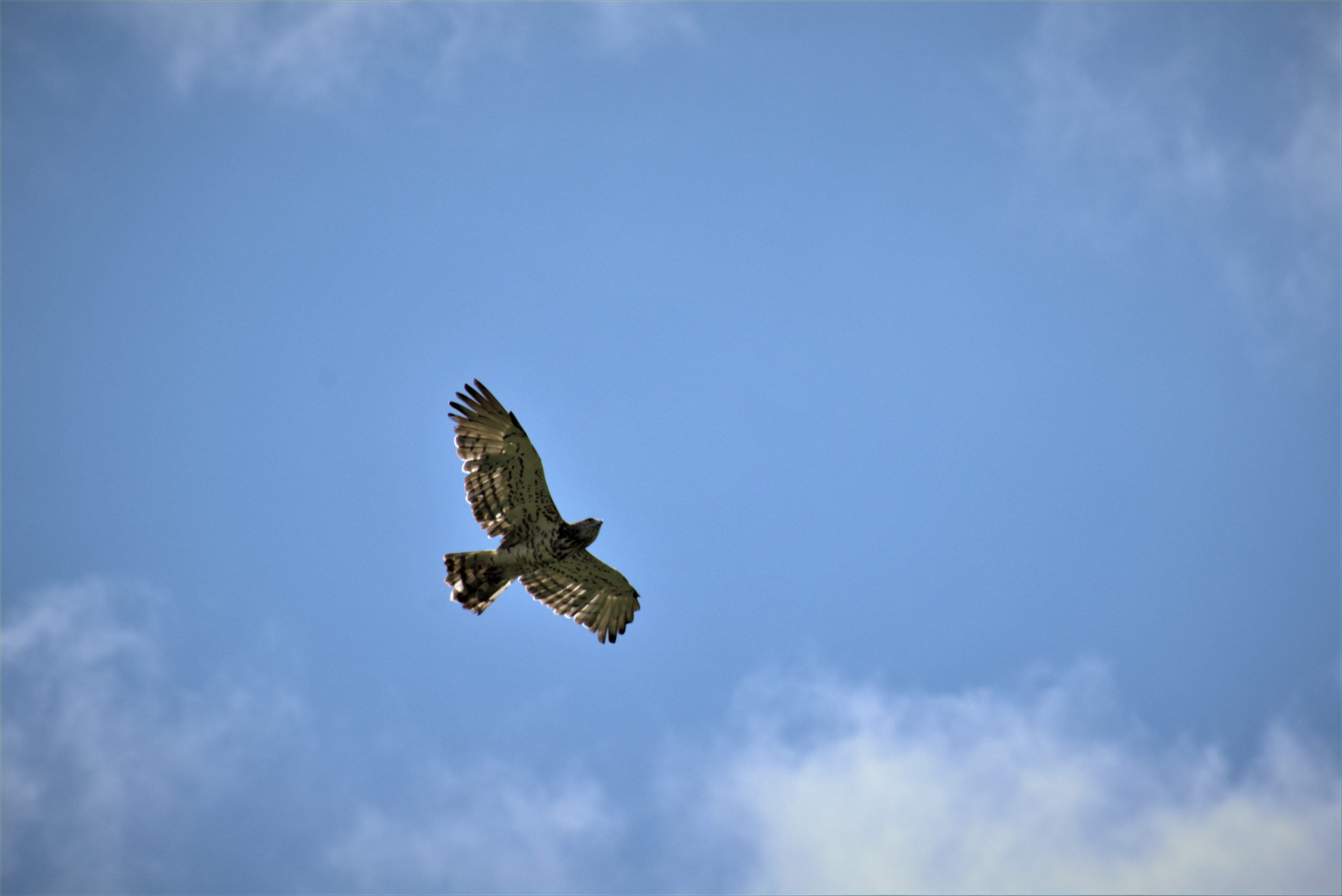 Flying Hawk Eagle