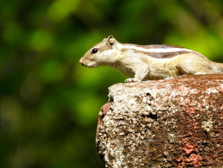 Chipmunk standing on a rock