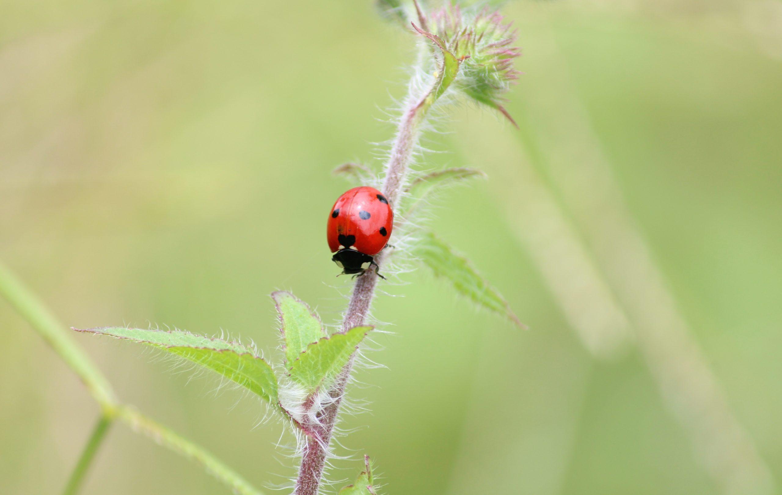 Close-up of a Ladybug on a Stem