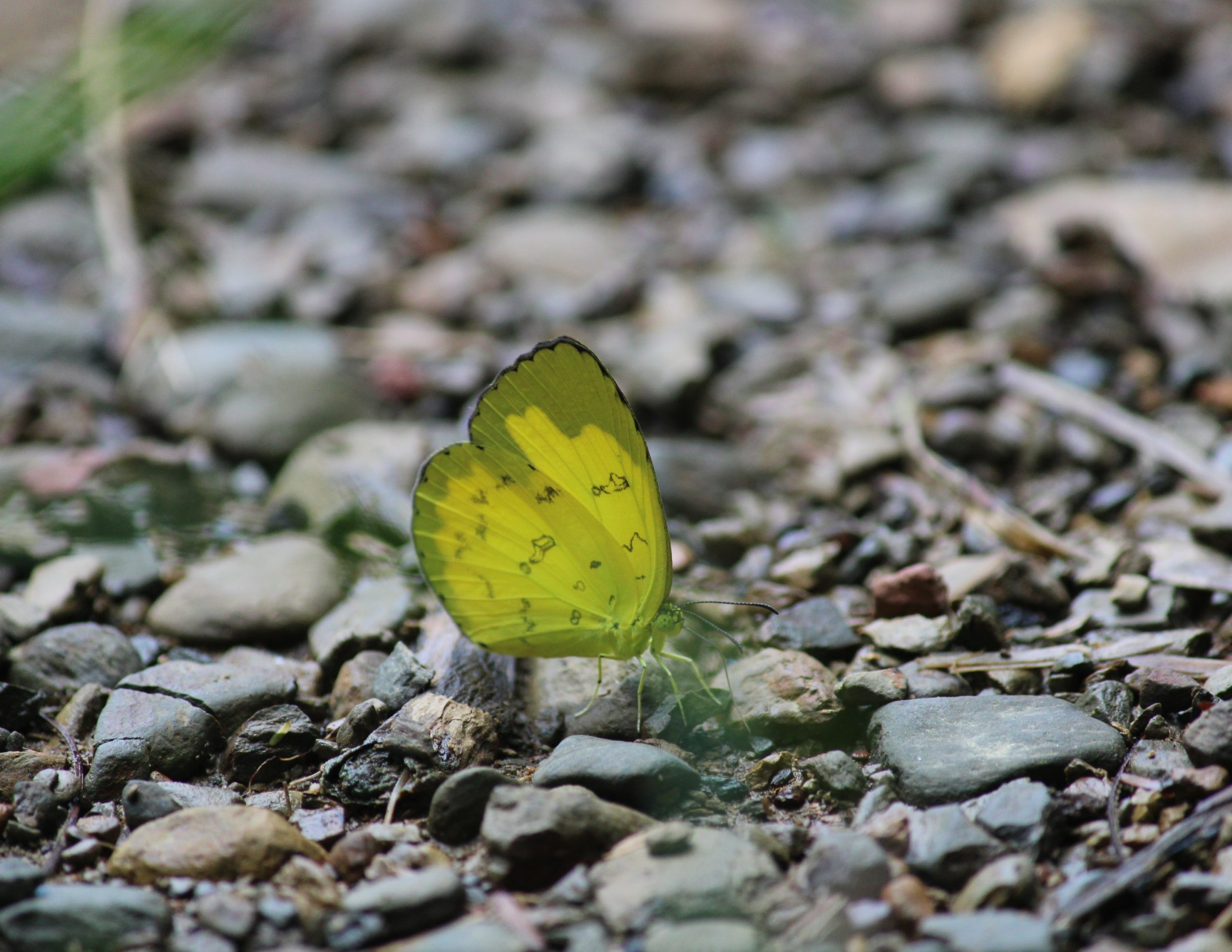 Clouded yellows Butterfly in the Ground on Focus