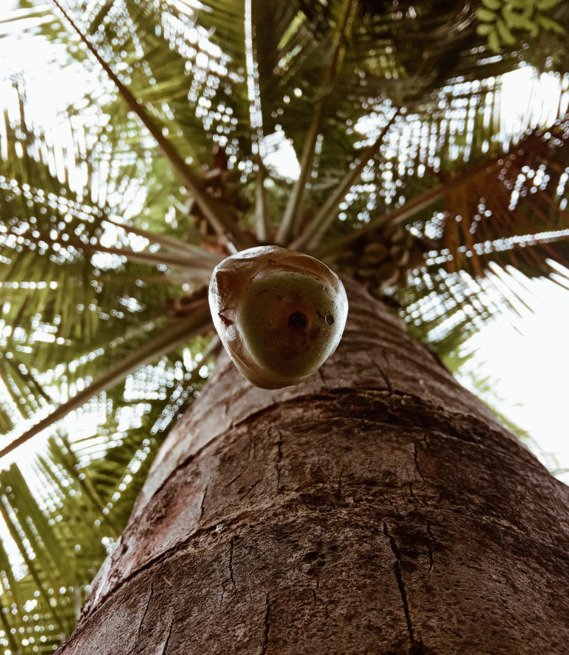 Coconut falling from tree