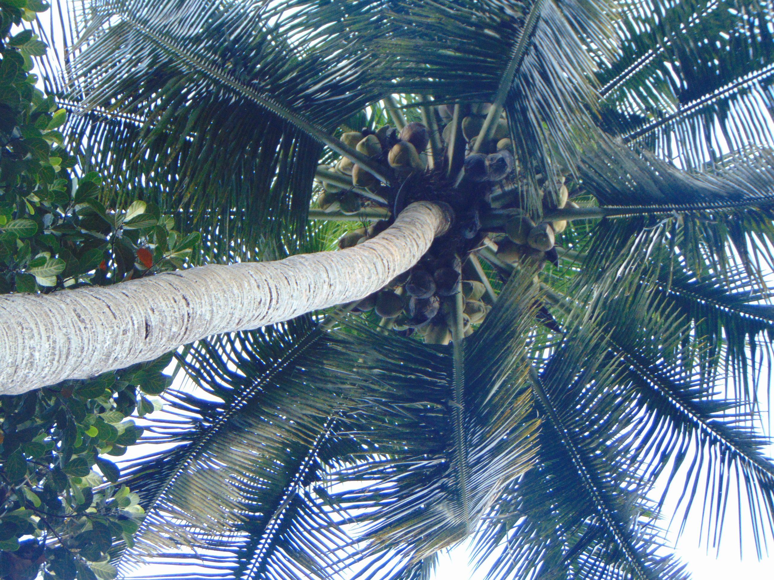 low angle shot of coconut tree