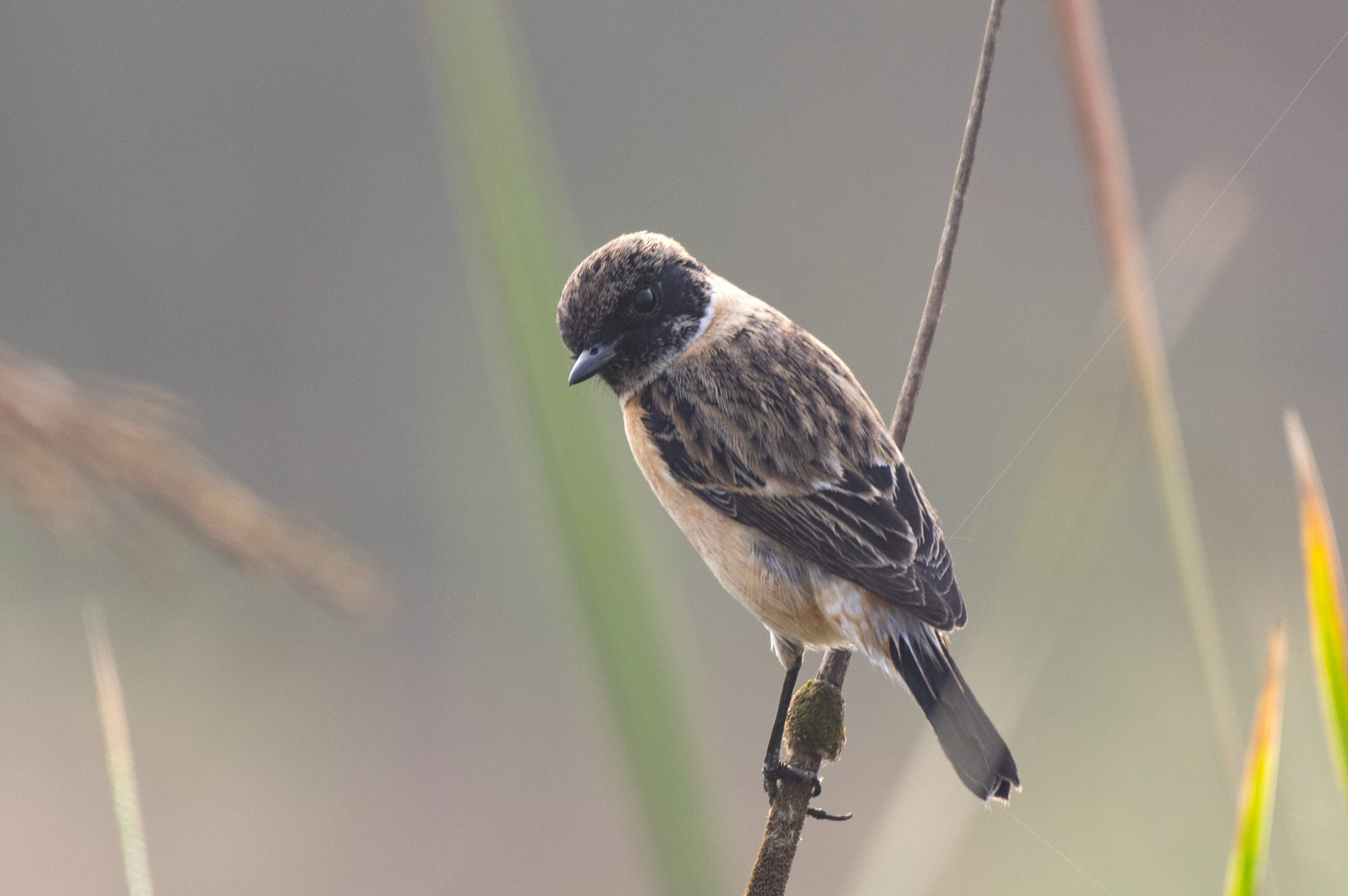 Common Stonechat Bird