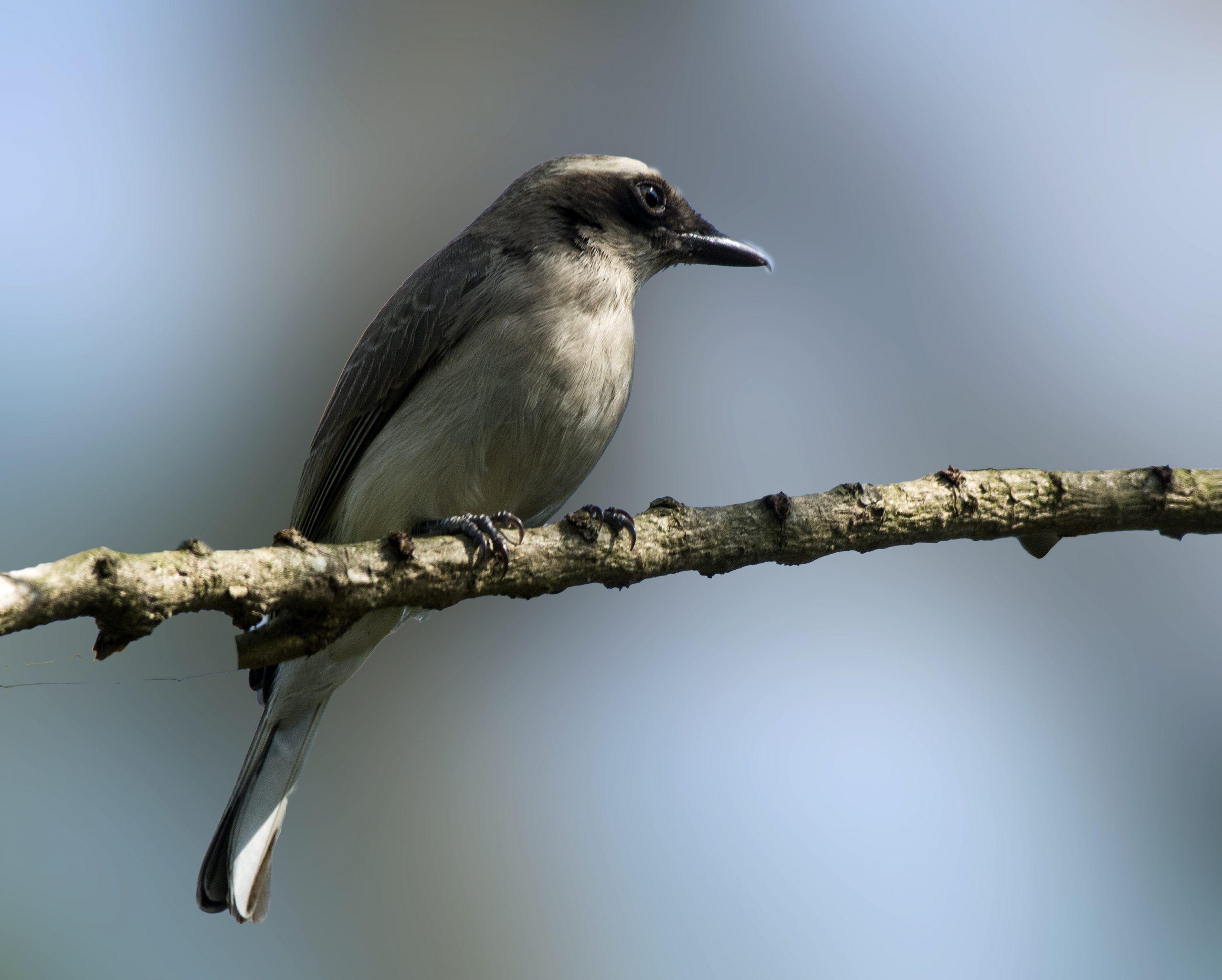 Common Woodshrike on a Stick