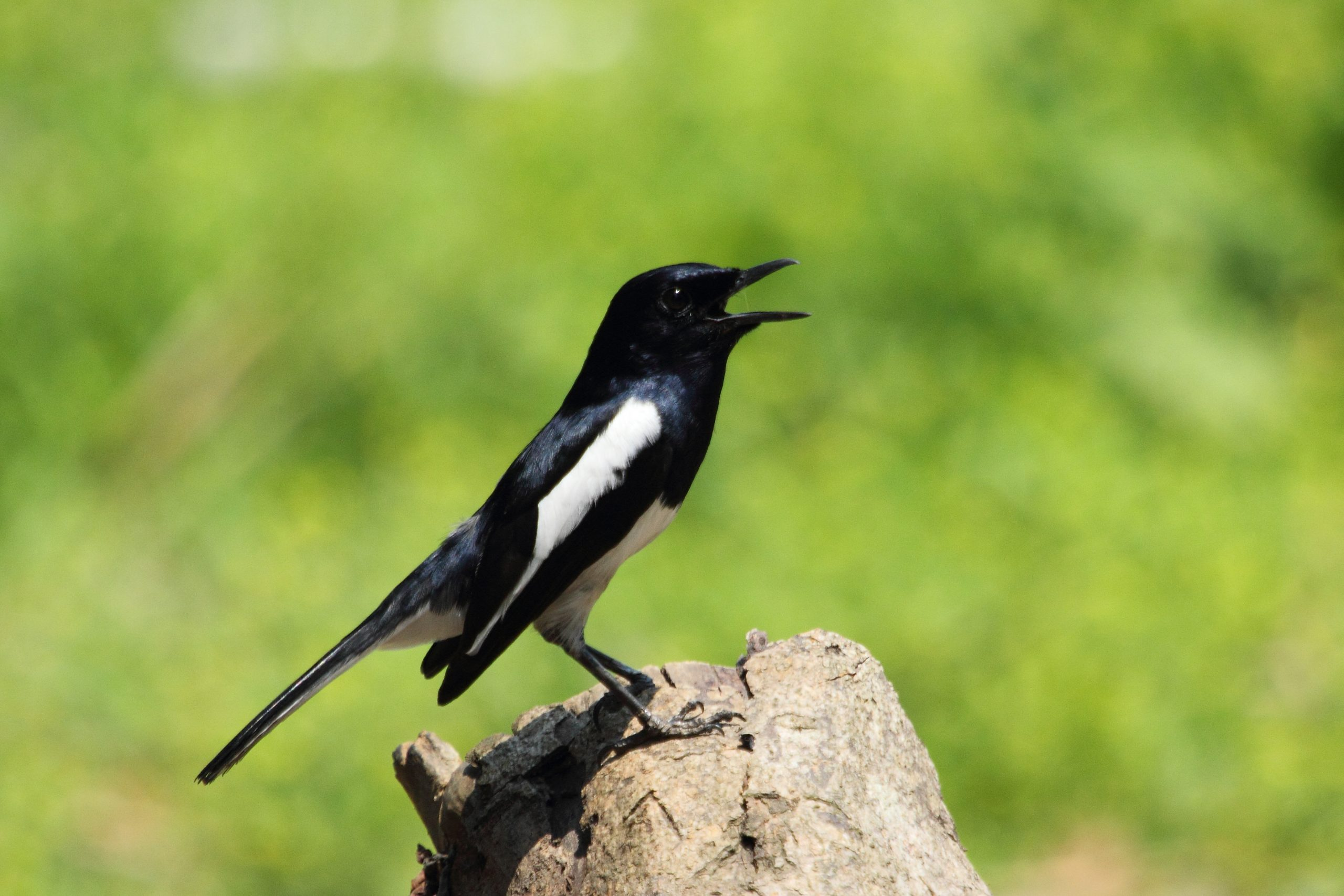 Common magpie bird