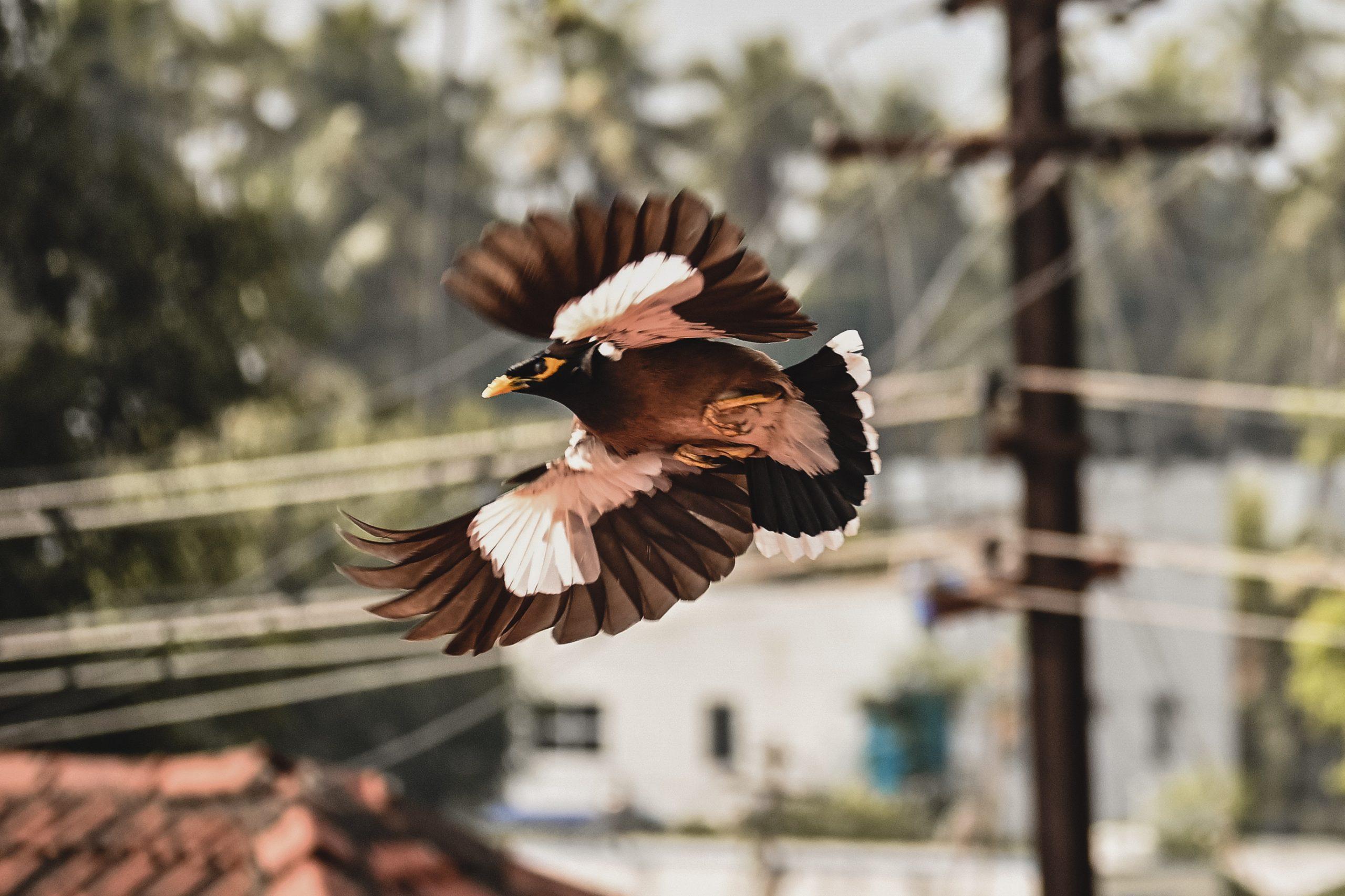 Common Myna taking flight.