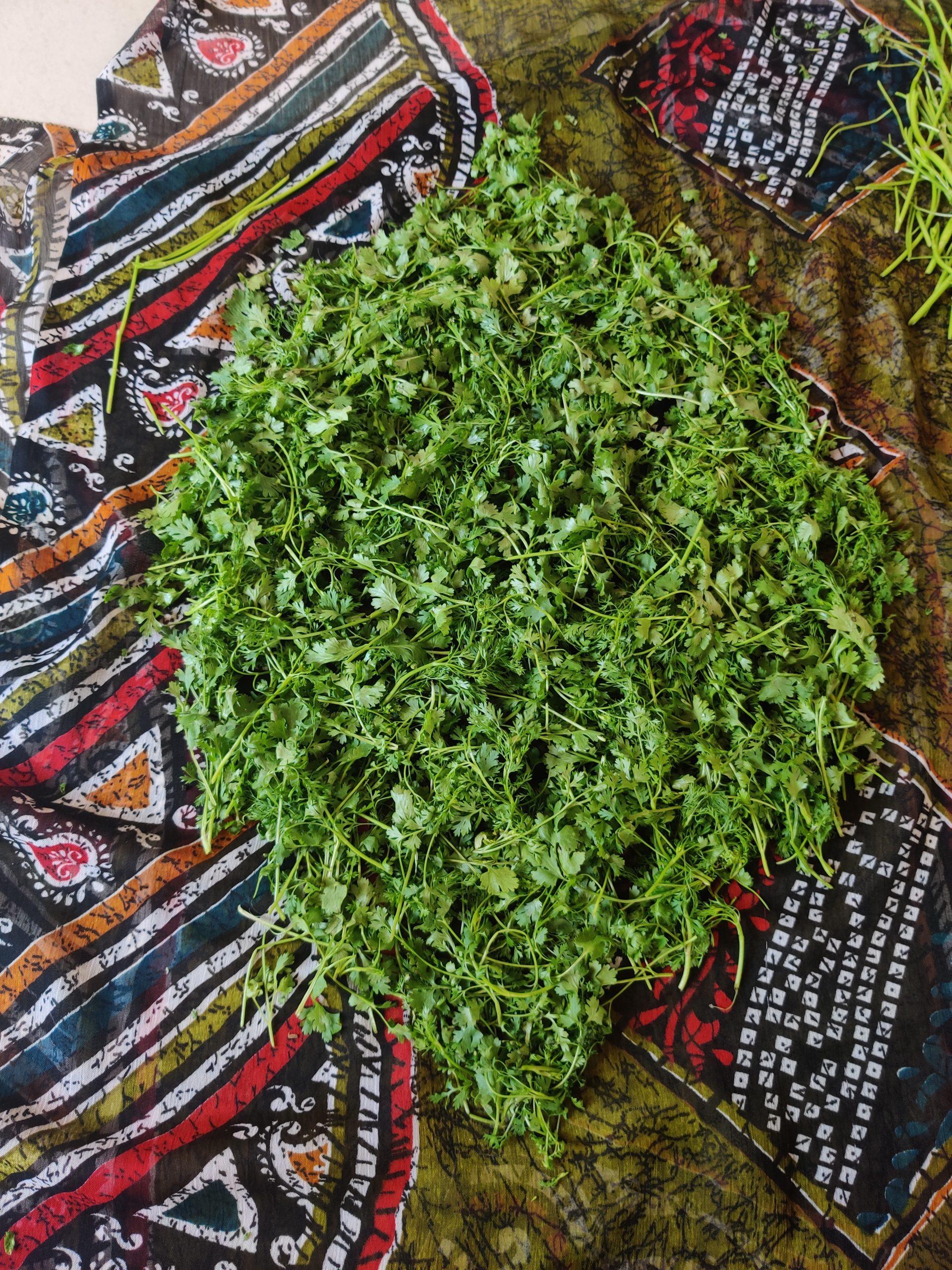 coriander leaves