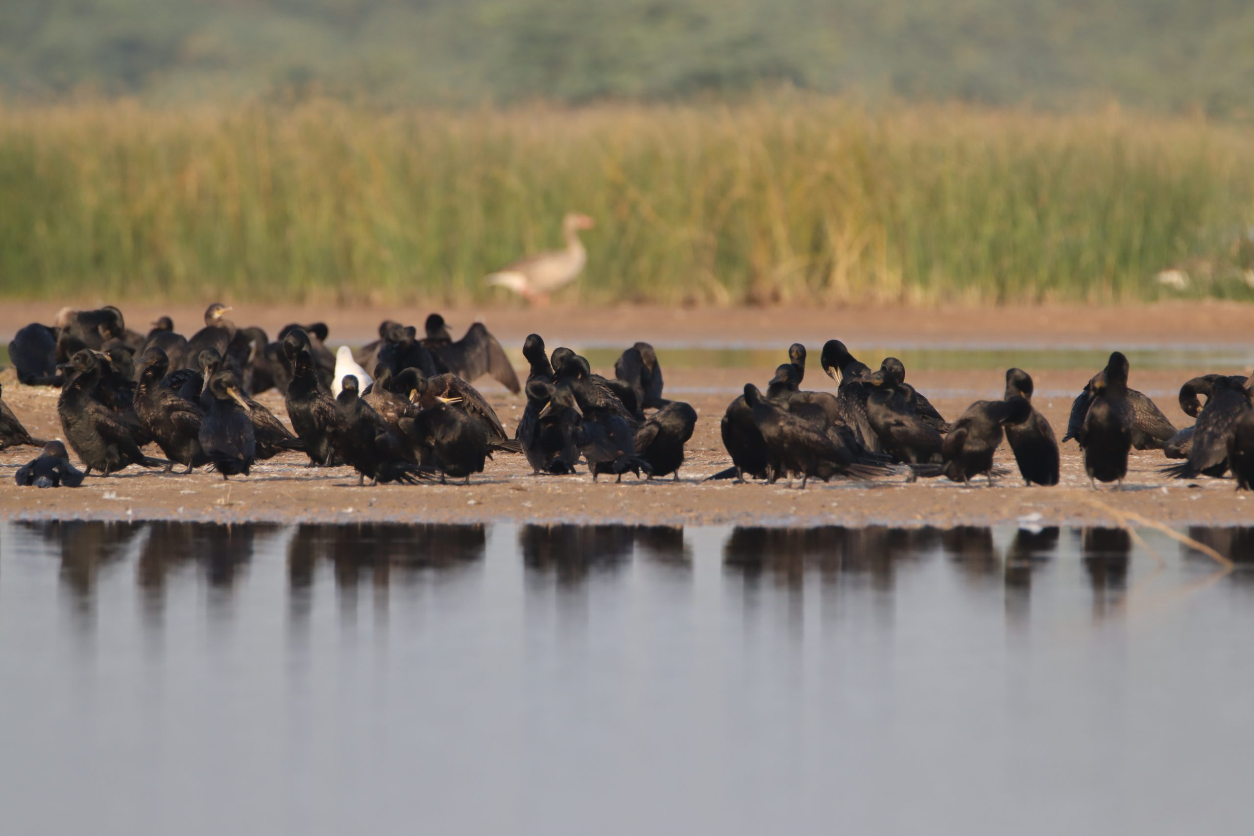Flock of cormorants by the lake