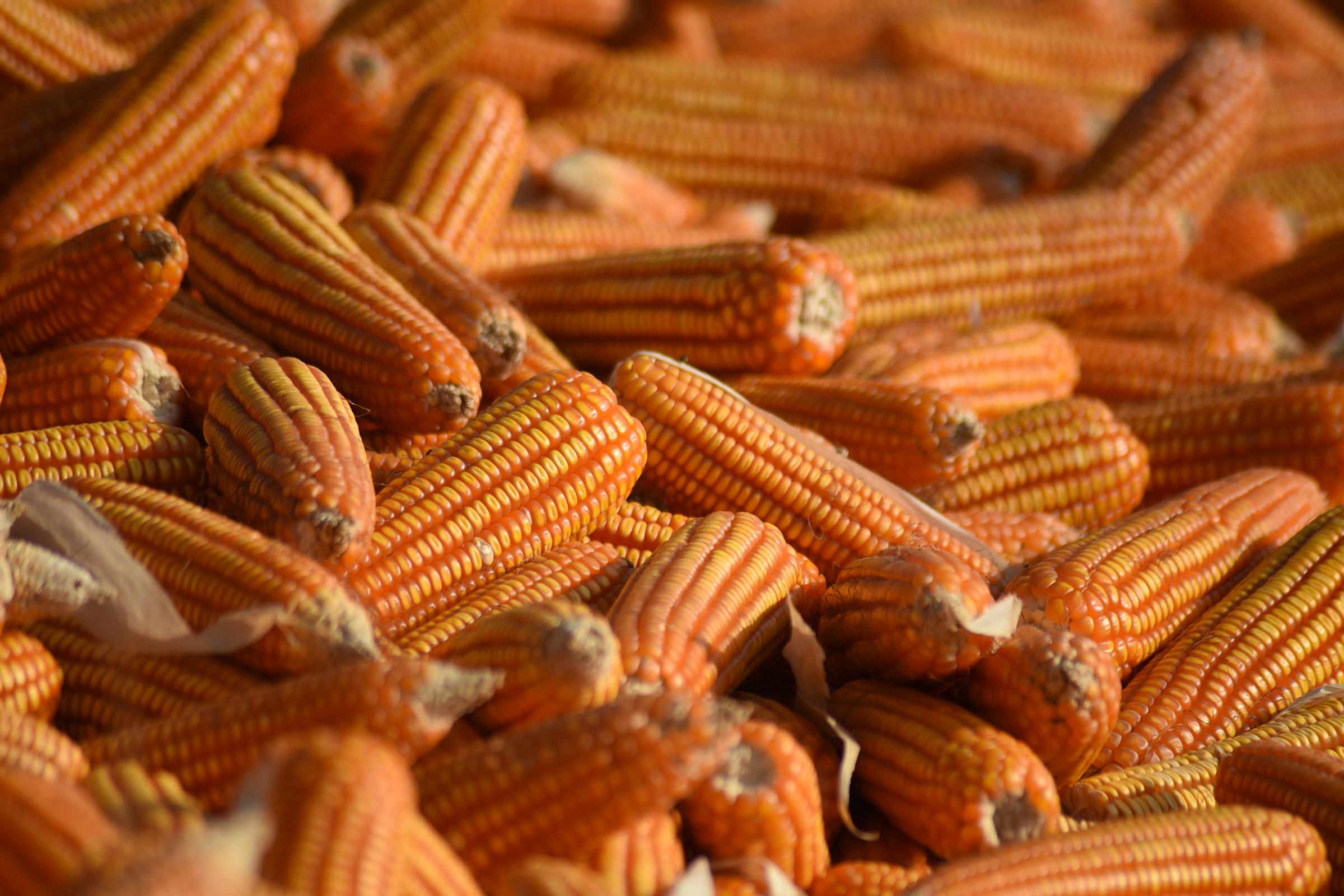 Harvested corns