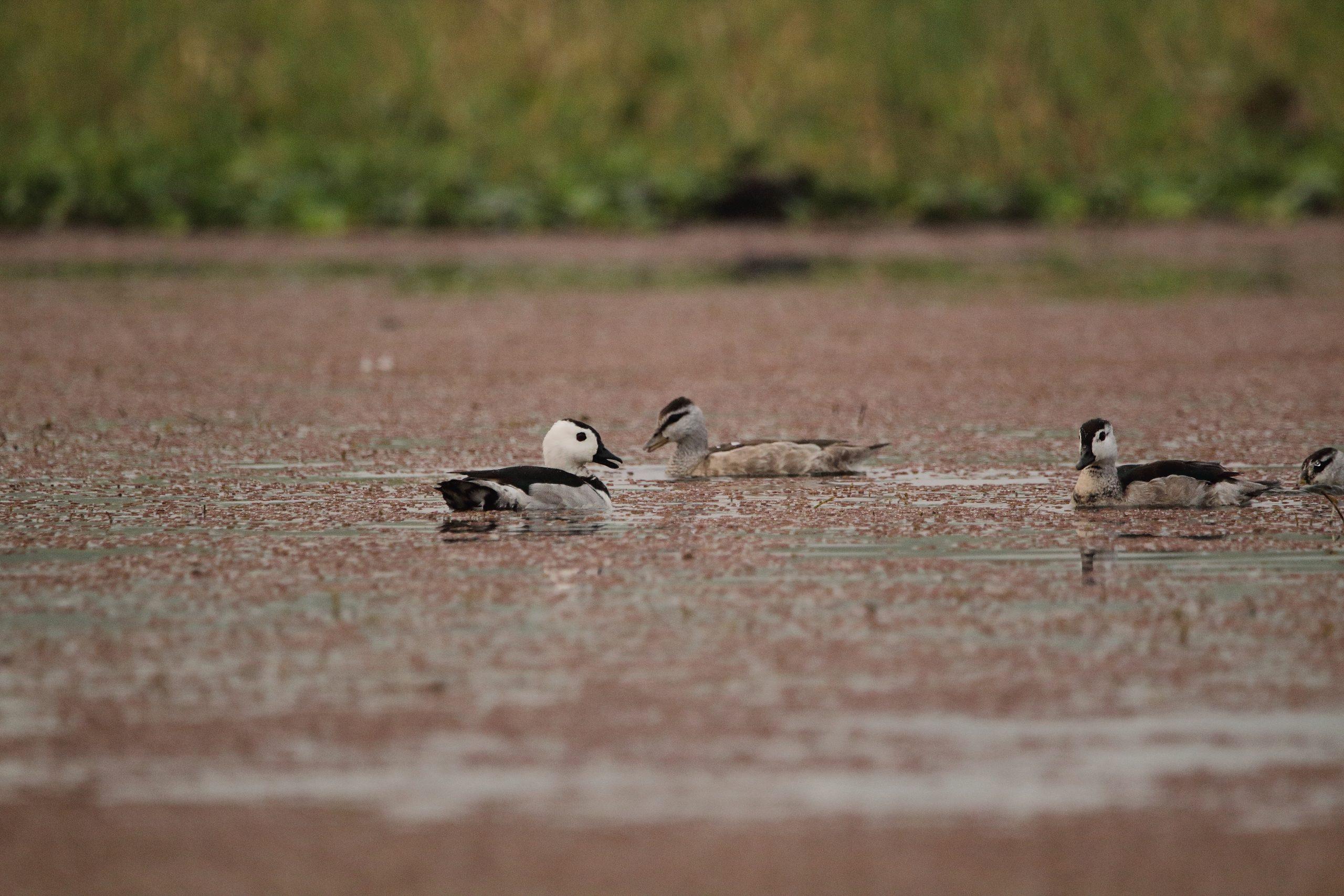 Cotton Teal/Cotton Pygmy-goose