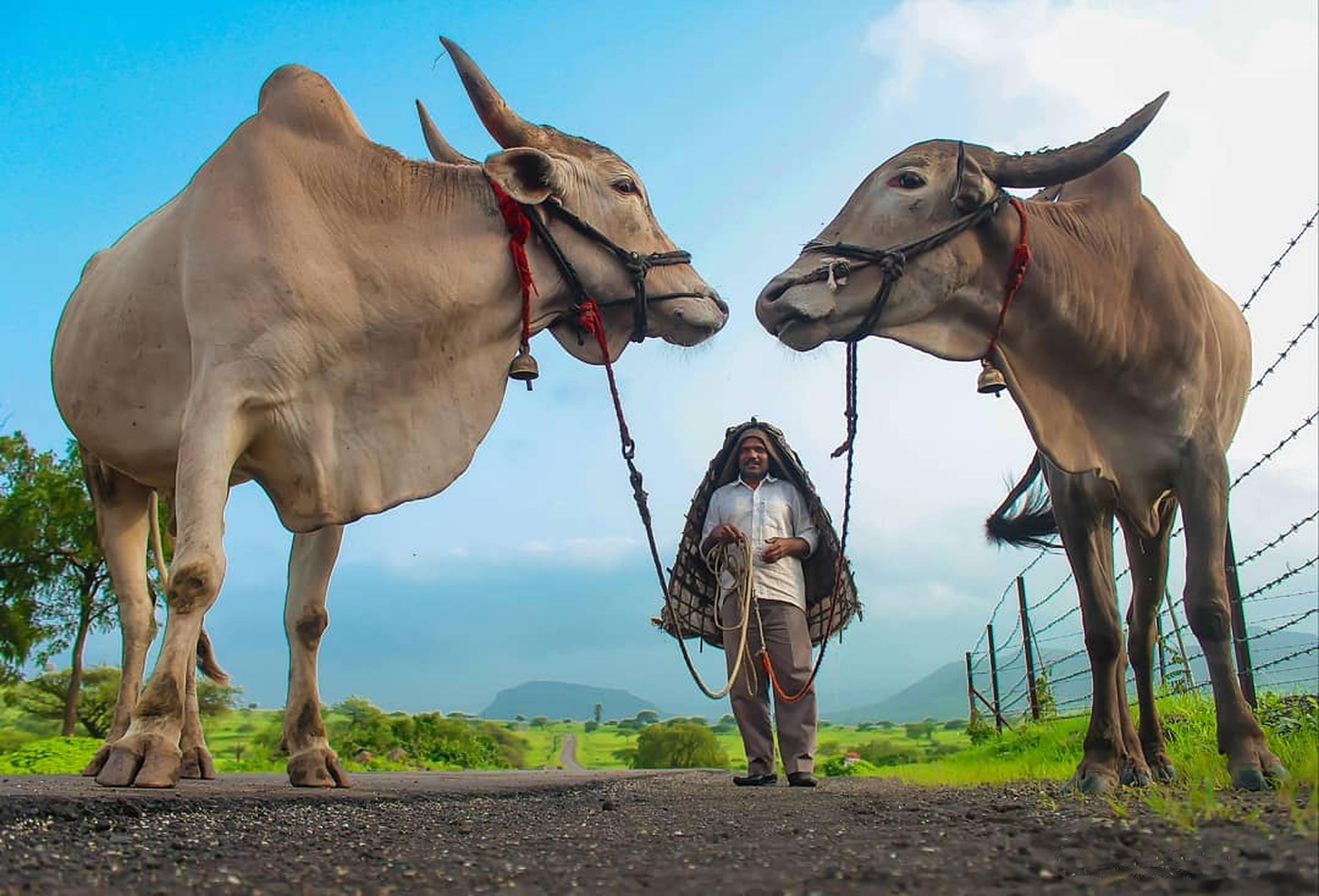 Farmer with His Zebu