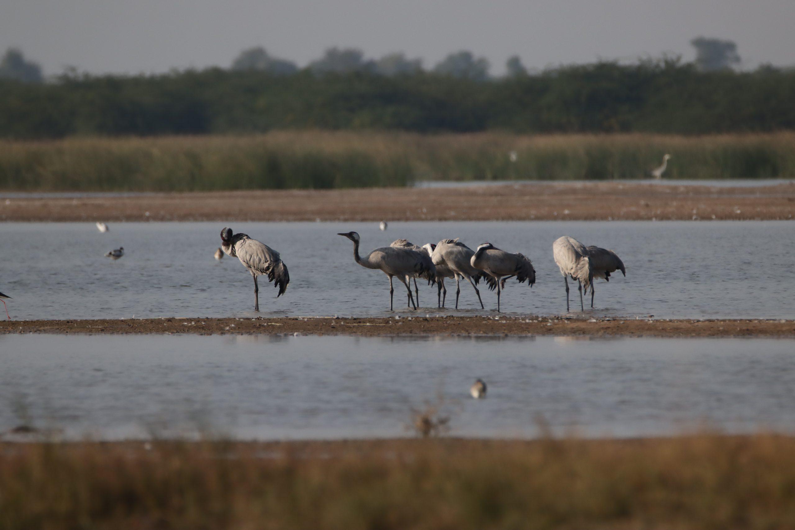Flock of Crane birds