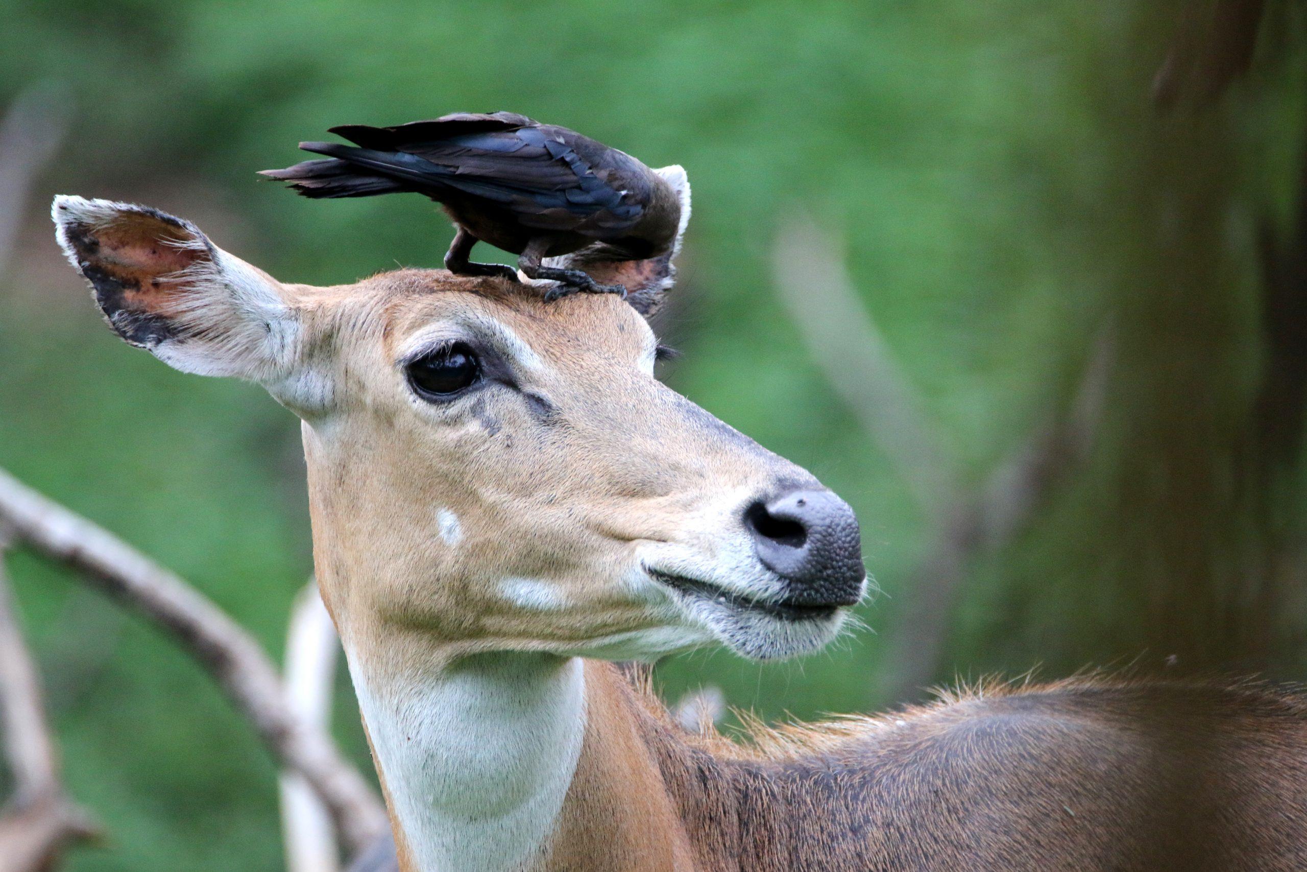 Crow on animal