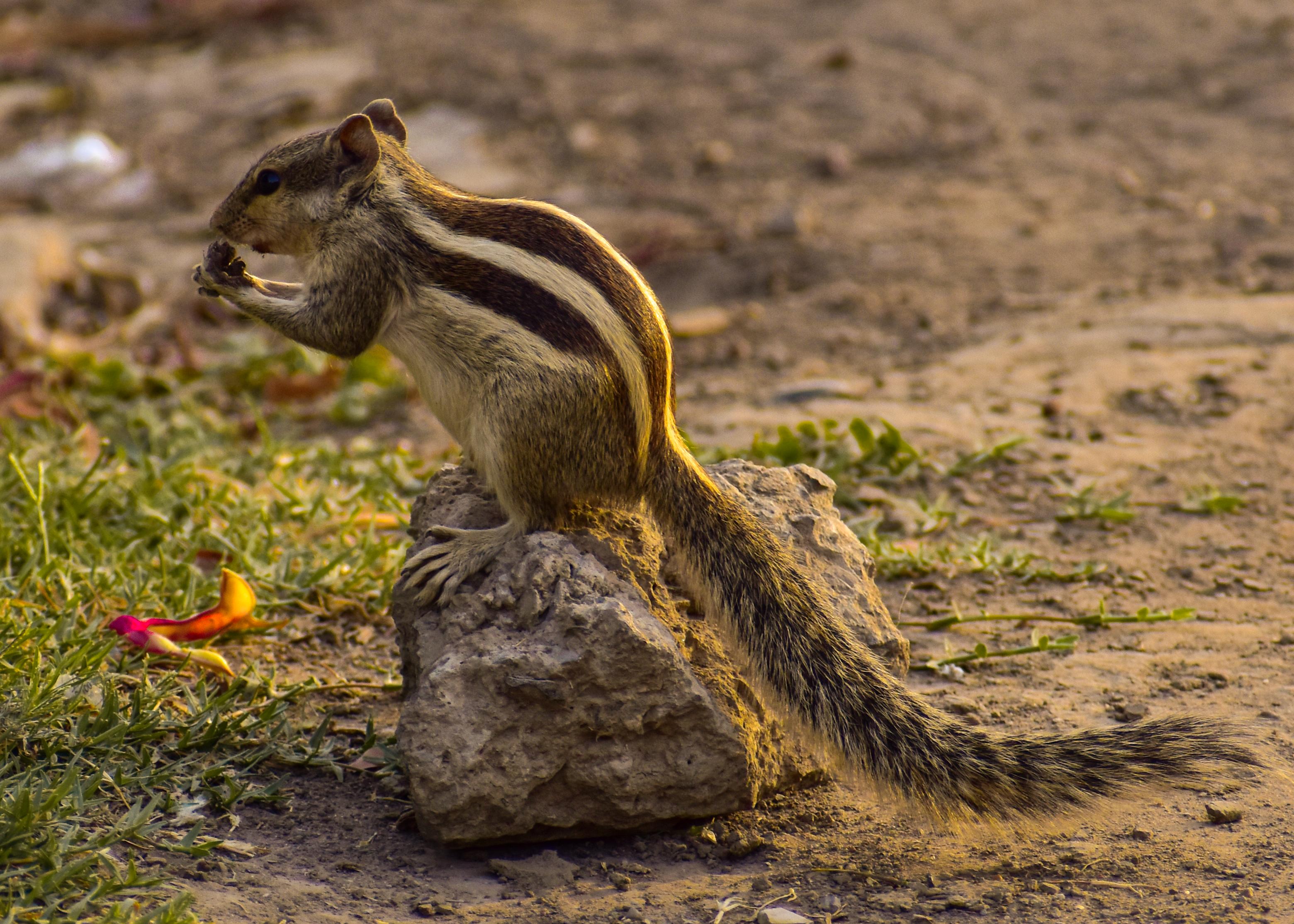 A grey squirrel on a rock