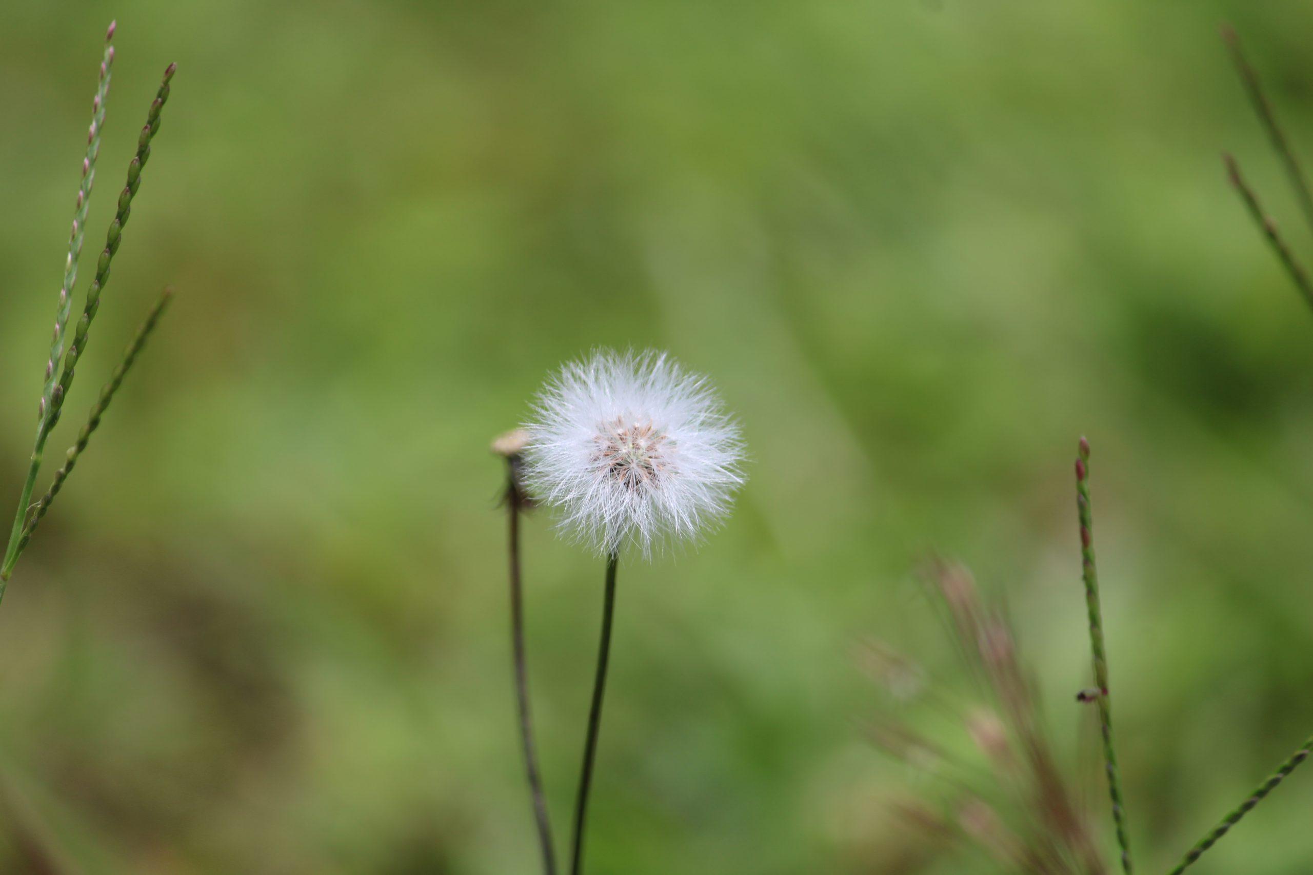 Common Dandelion on Focus