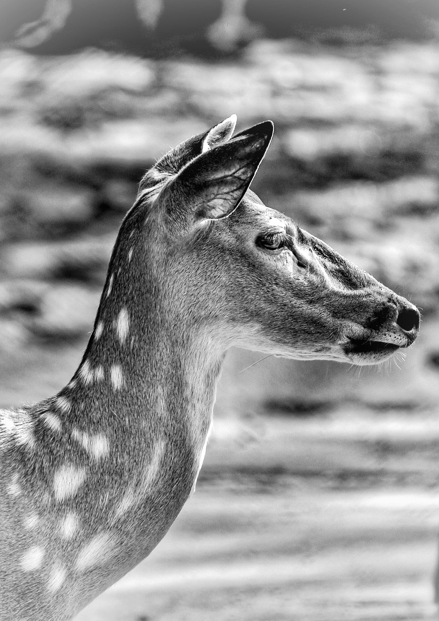 Deer in monochrome