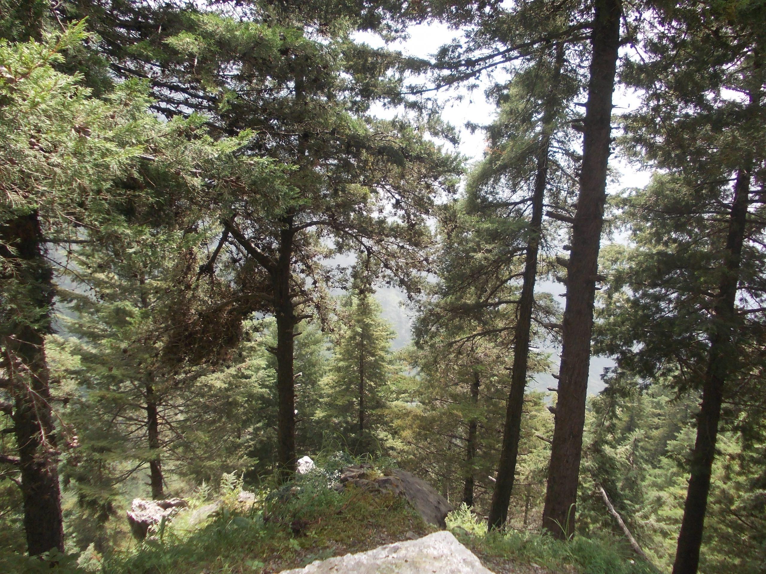 Deodar cedar trees in Mussoorie