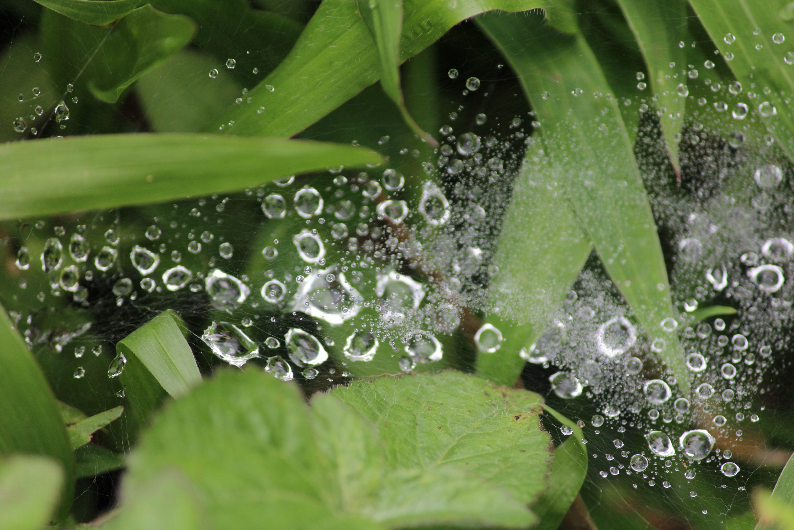 Dewdrops Trapped in a Web on Focus