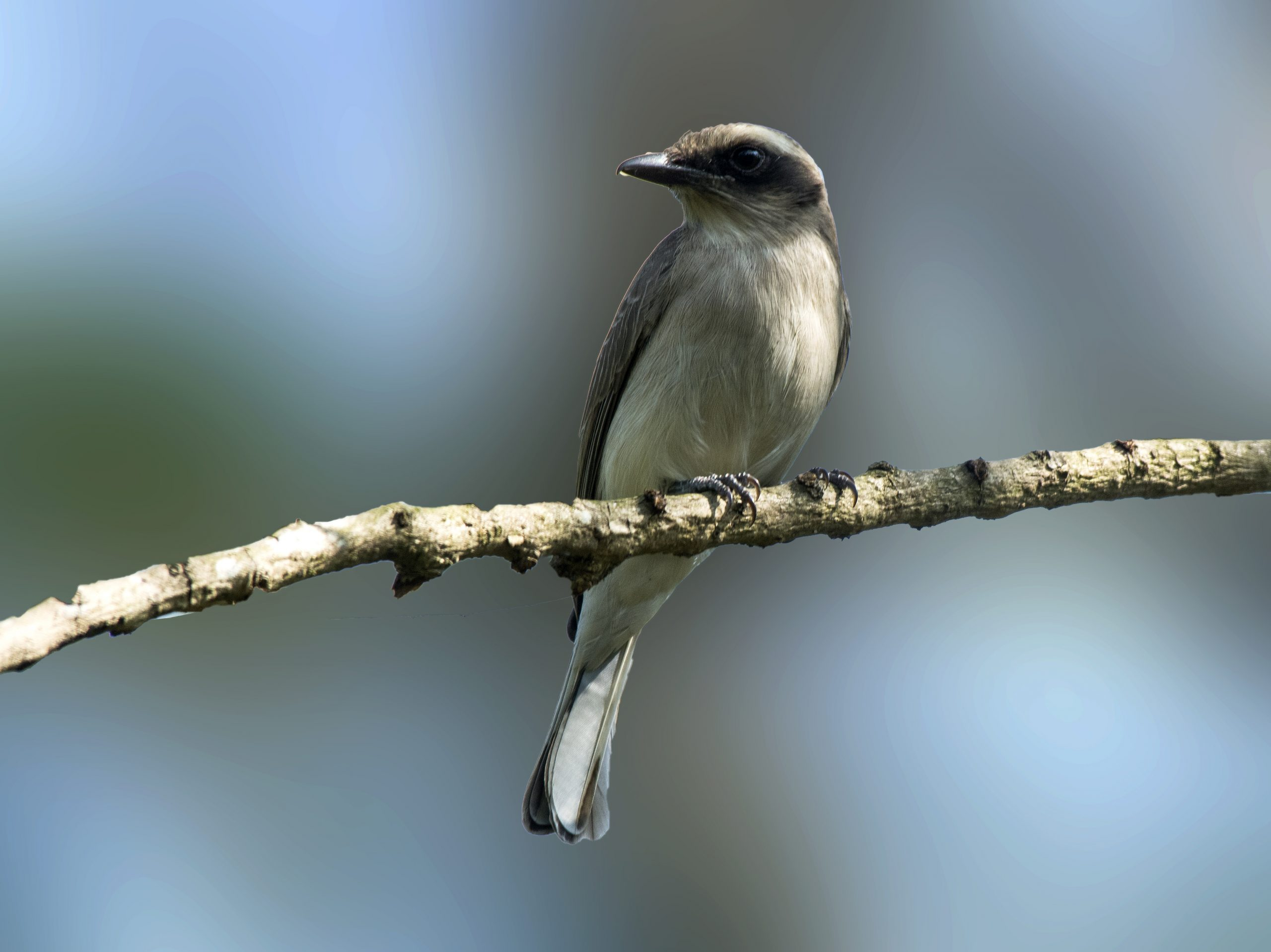 Common woodshrike perched on a tree branch