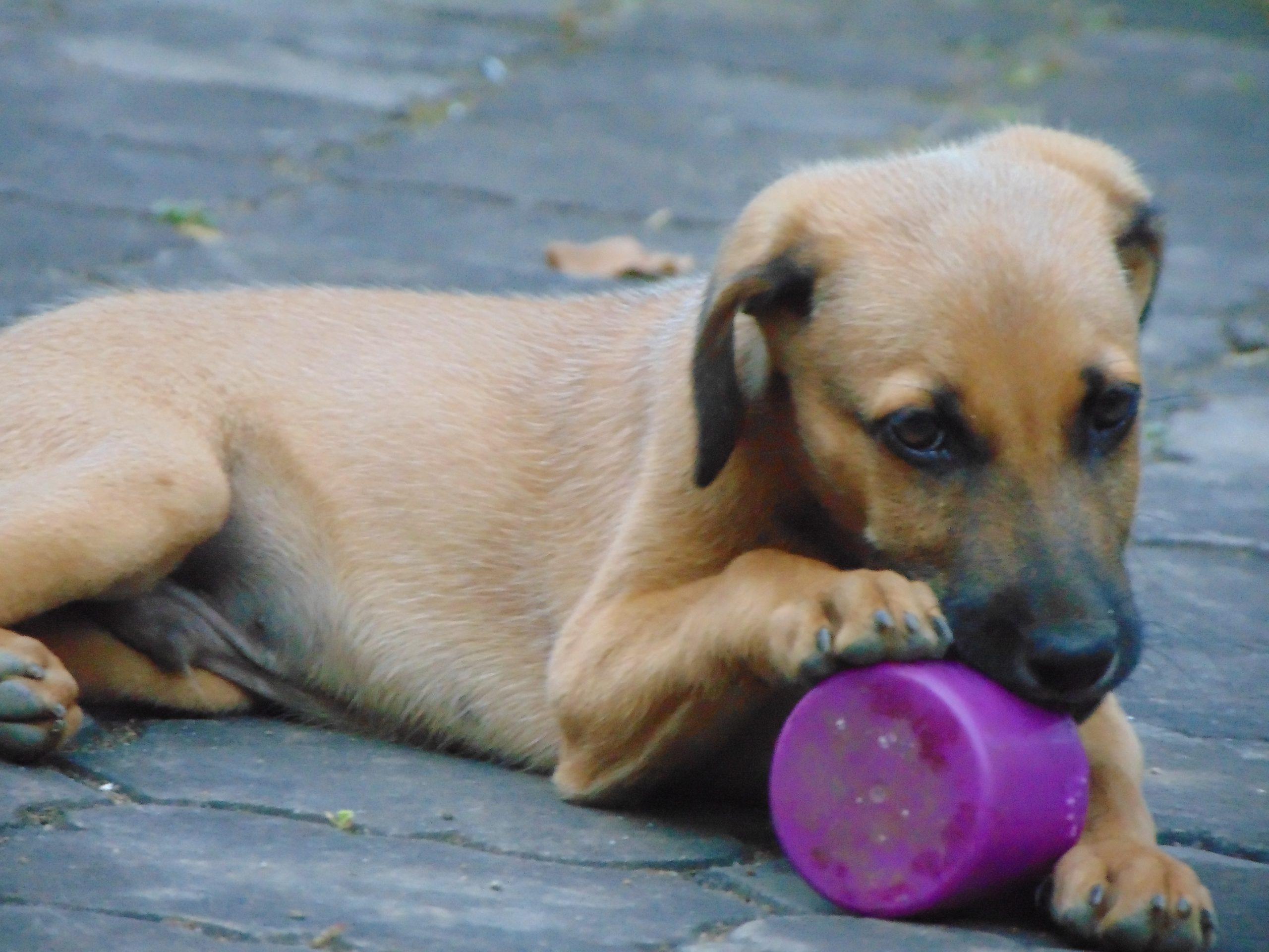 Kombai puppy