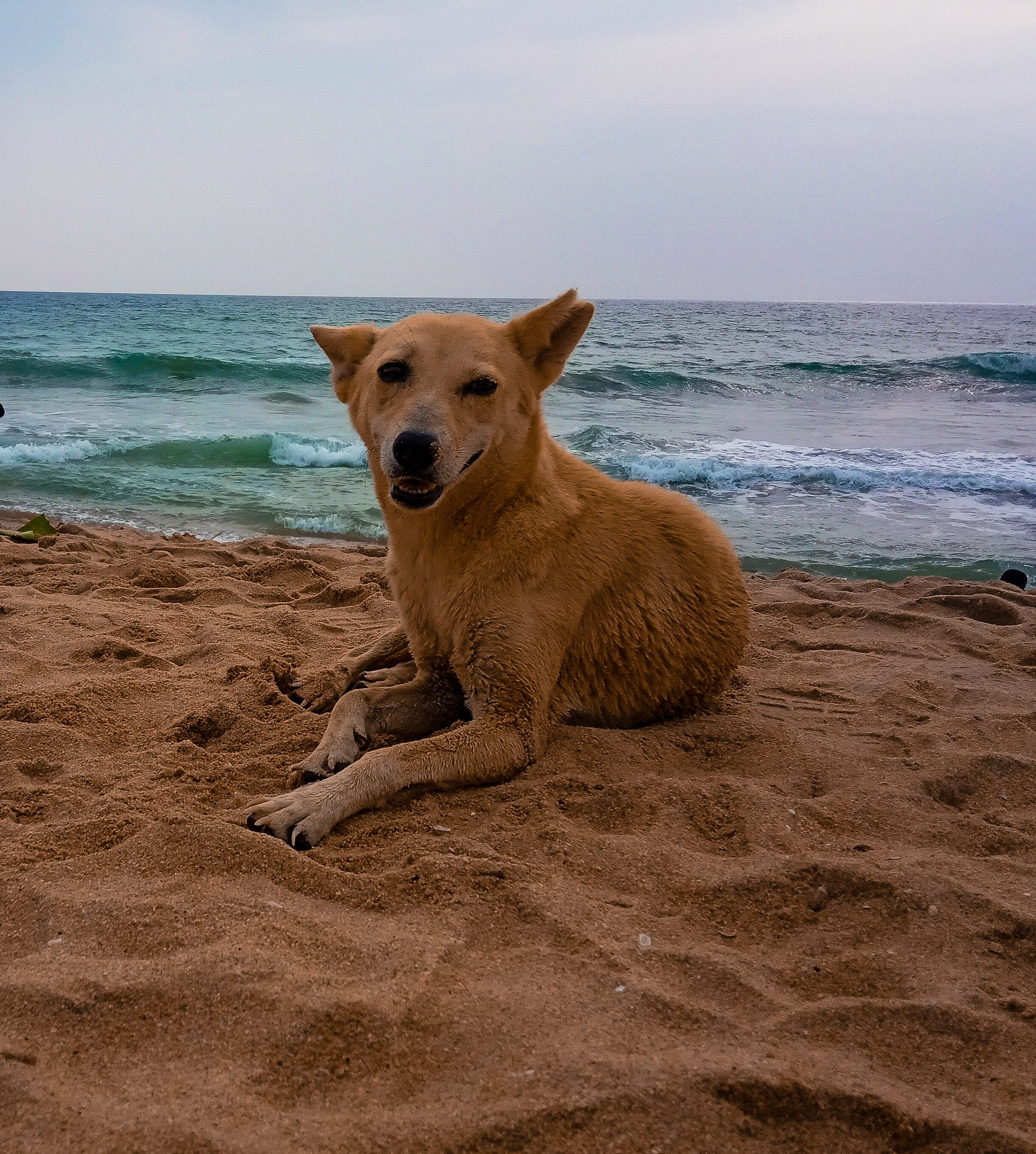 Dog Resting in the Beach
