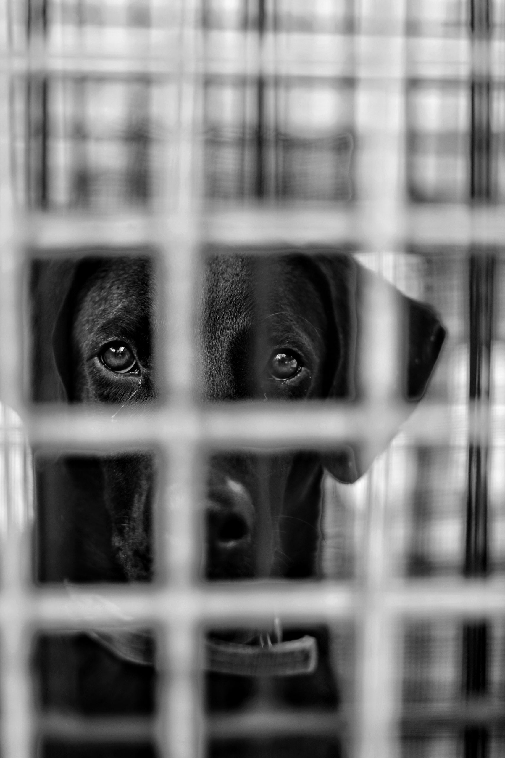 Dog behind fence in black and white