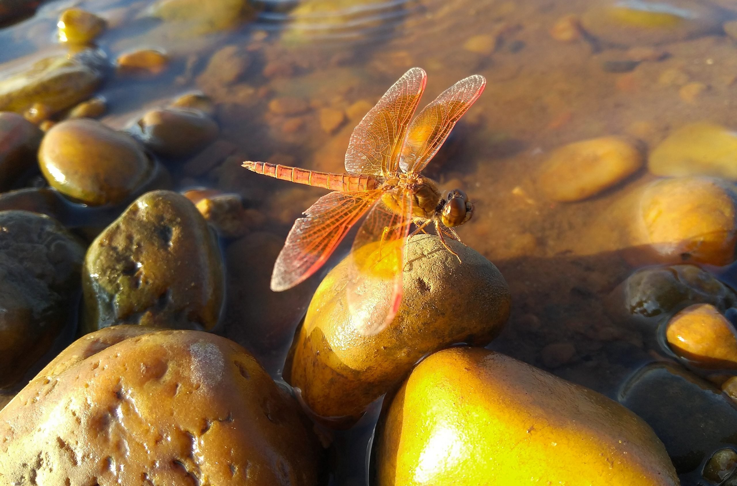 Dragonfly in River Stones
