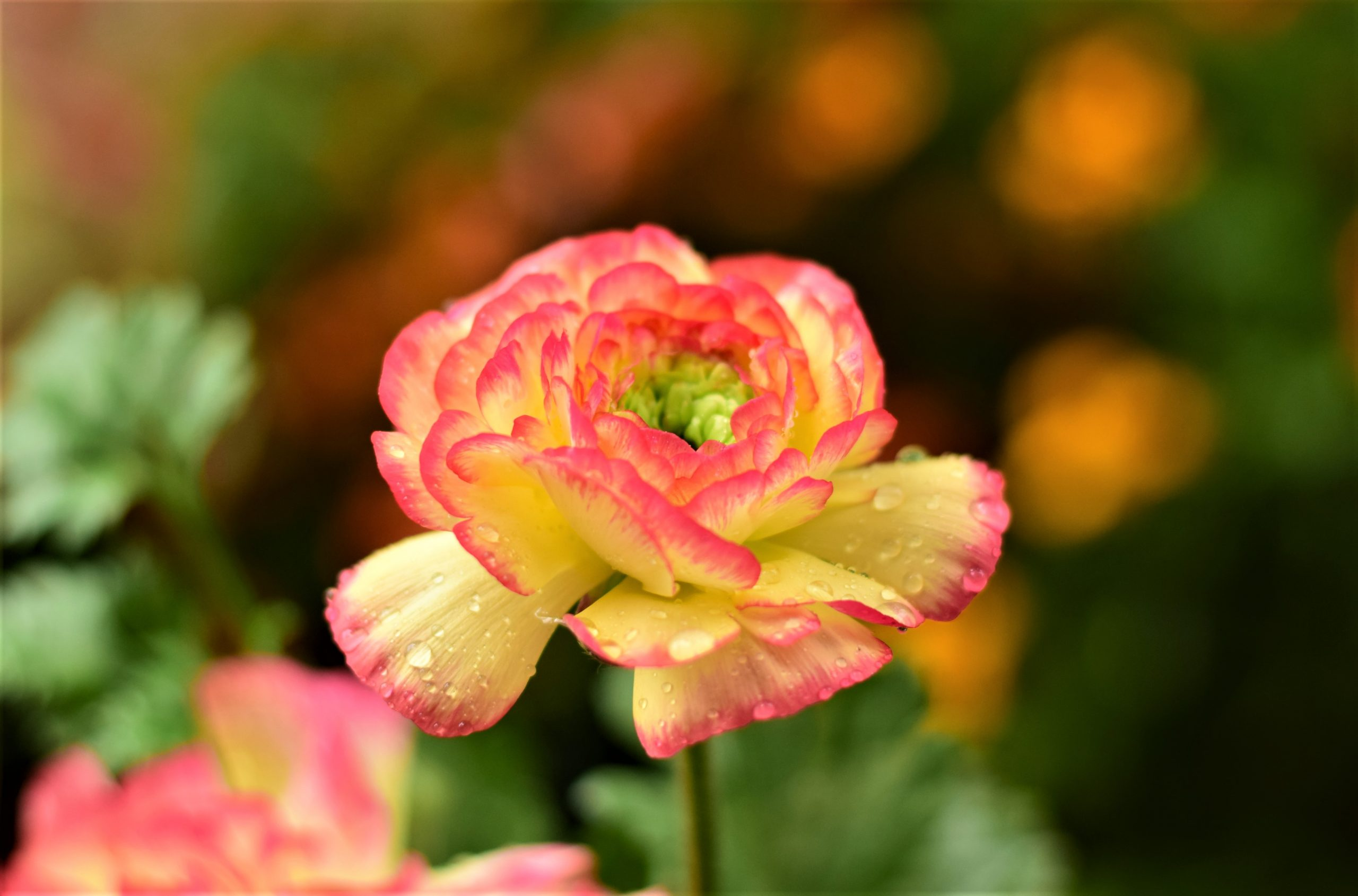 Drops on a Persian Buttercup