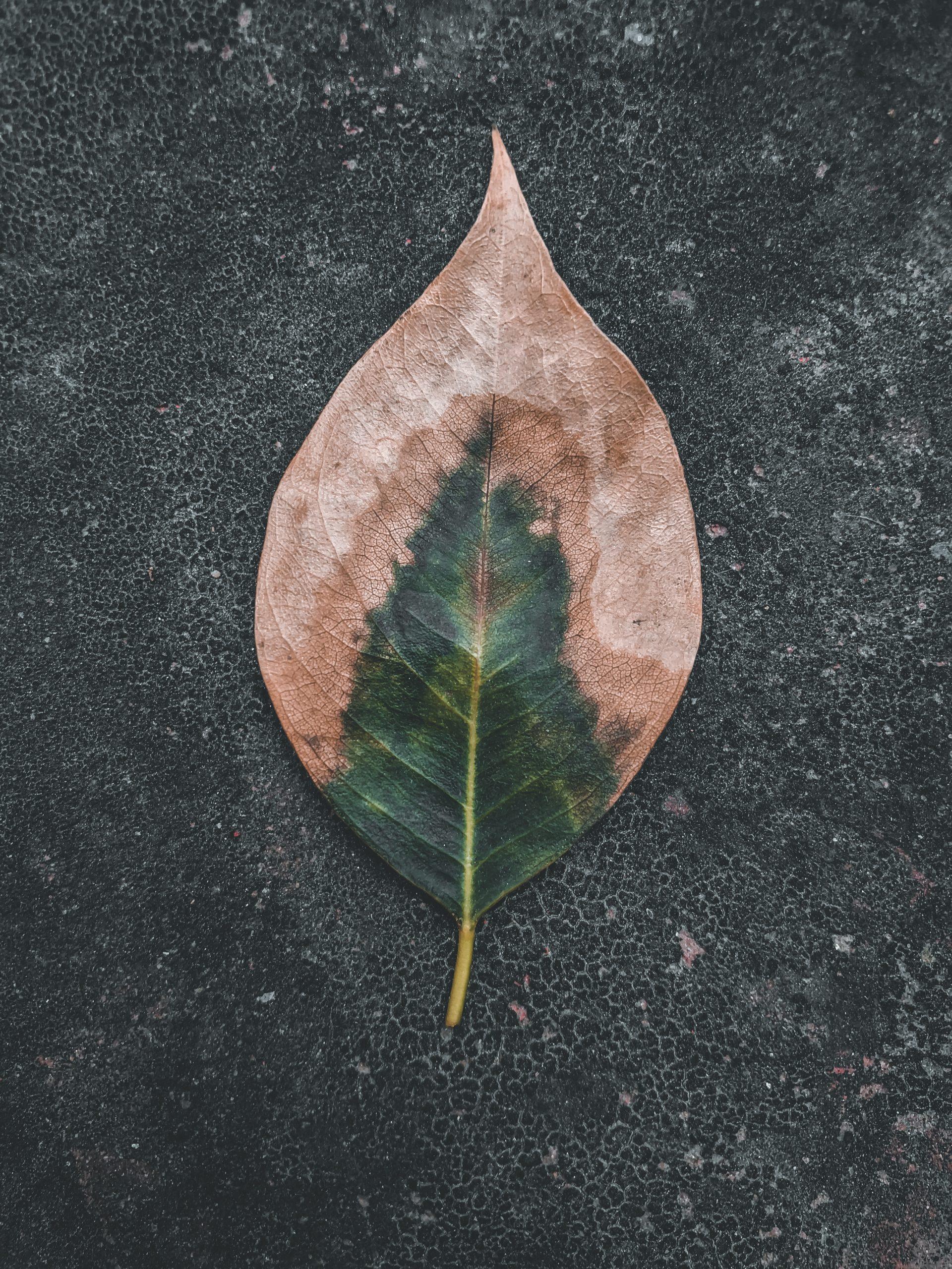 Drying leaf